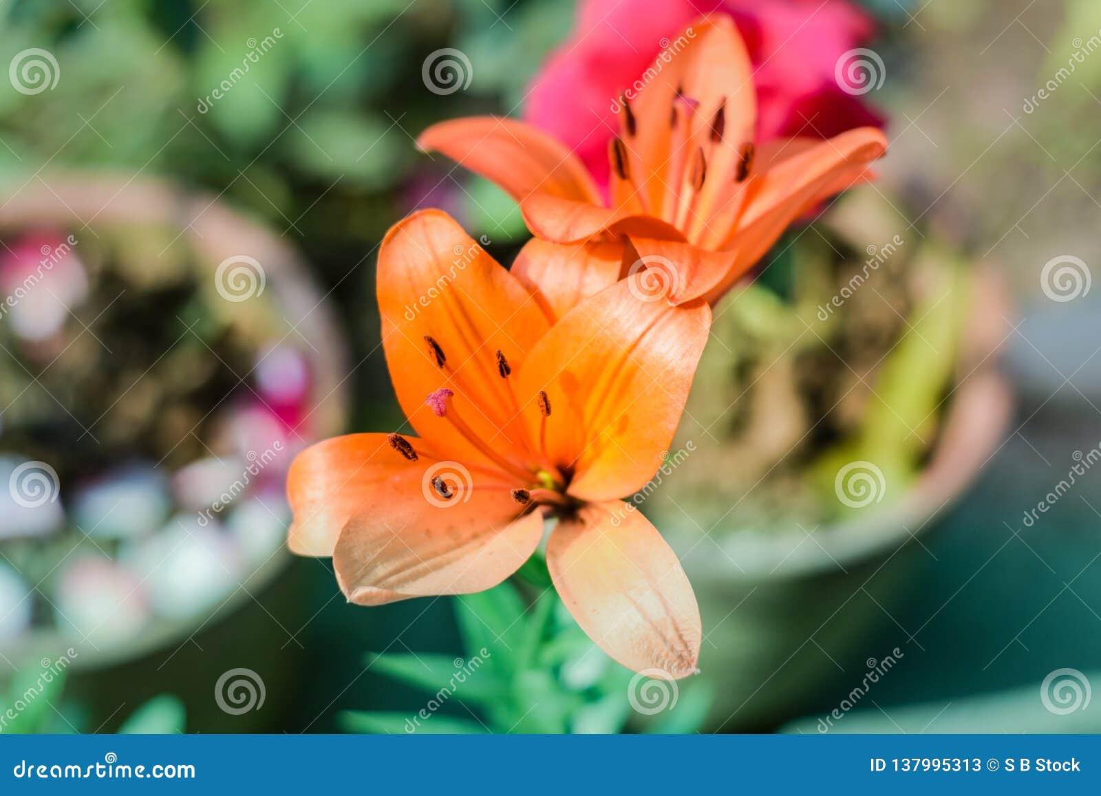 Piękni Tubowego winogradu lub tubowego pełzacza Campsis radicans menchii i pomarańcze, znać jako krowa świąd lub hummingbird wino