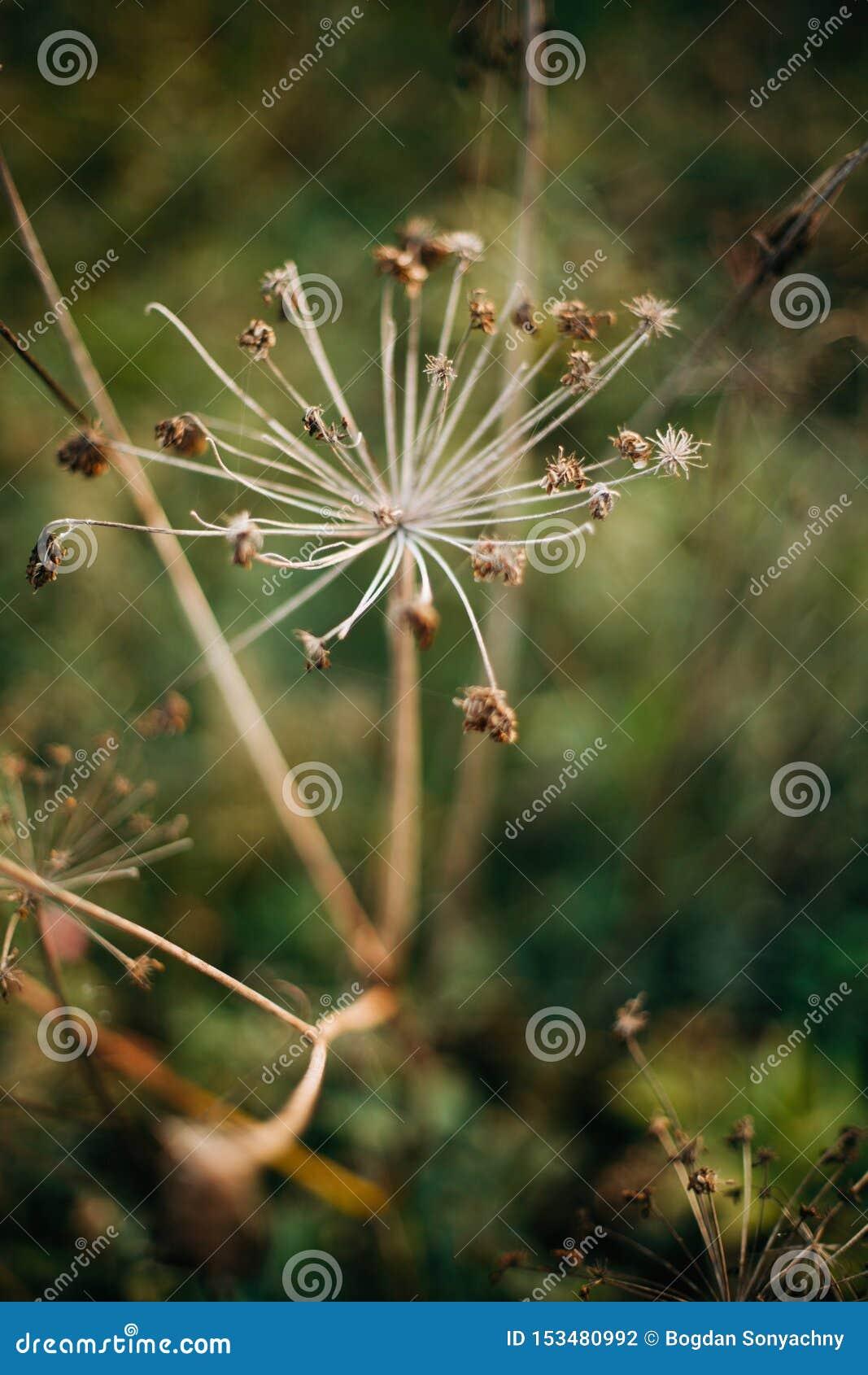 Piękni wysuszeni ziele, aegopodium podagraria lub arcydzięgiel, w pogodnej łące przy zmierzchem w górach Zbierający wysuszonych w