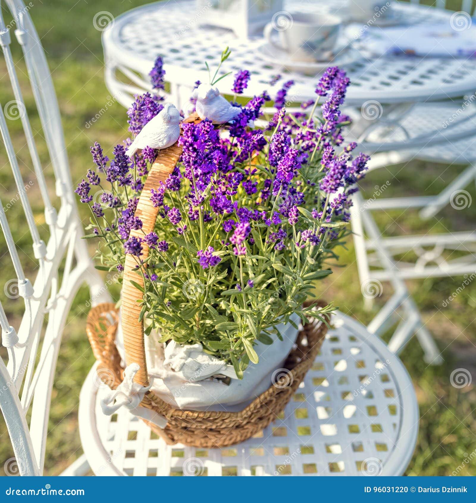 Piękno i świeża lawenda w kwiatu garnku