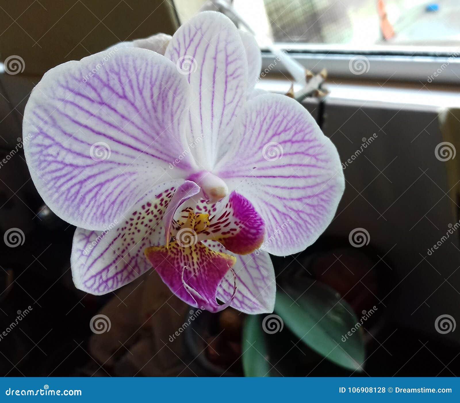 Piękno purpurowa orchidea, mały ogród w Brazylia