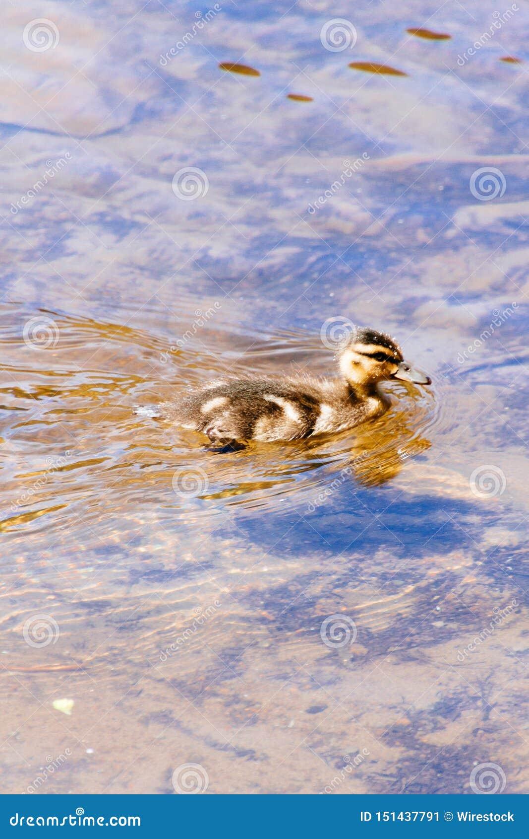Piękny śliczny dziecko kaczki dopłynięcie w jeziorze