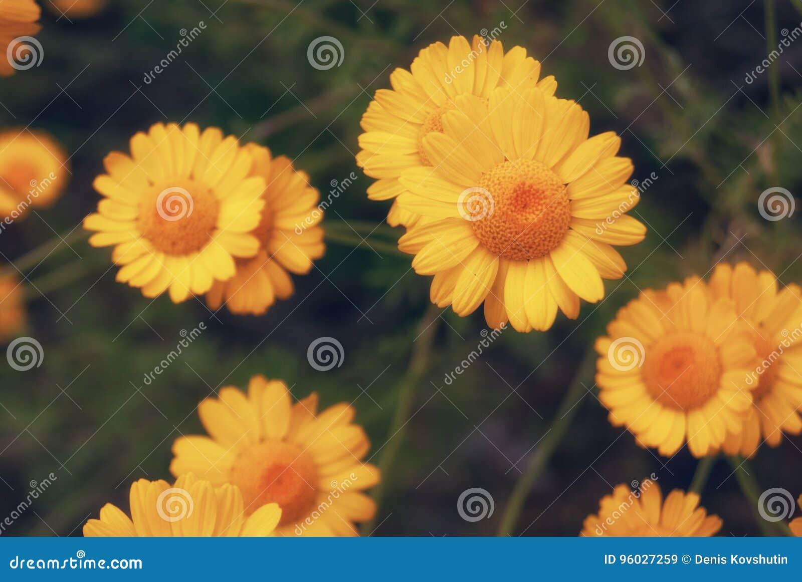 Piękny żółty dzikiego kwiatu stokrotki chamomile zakończenie na haliźnie w polach