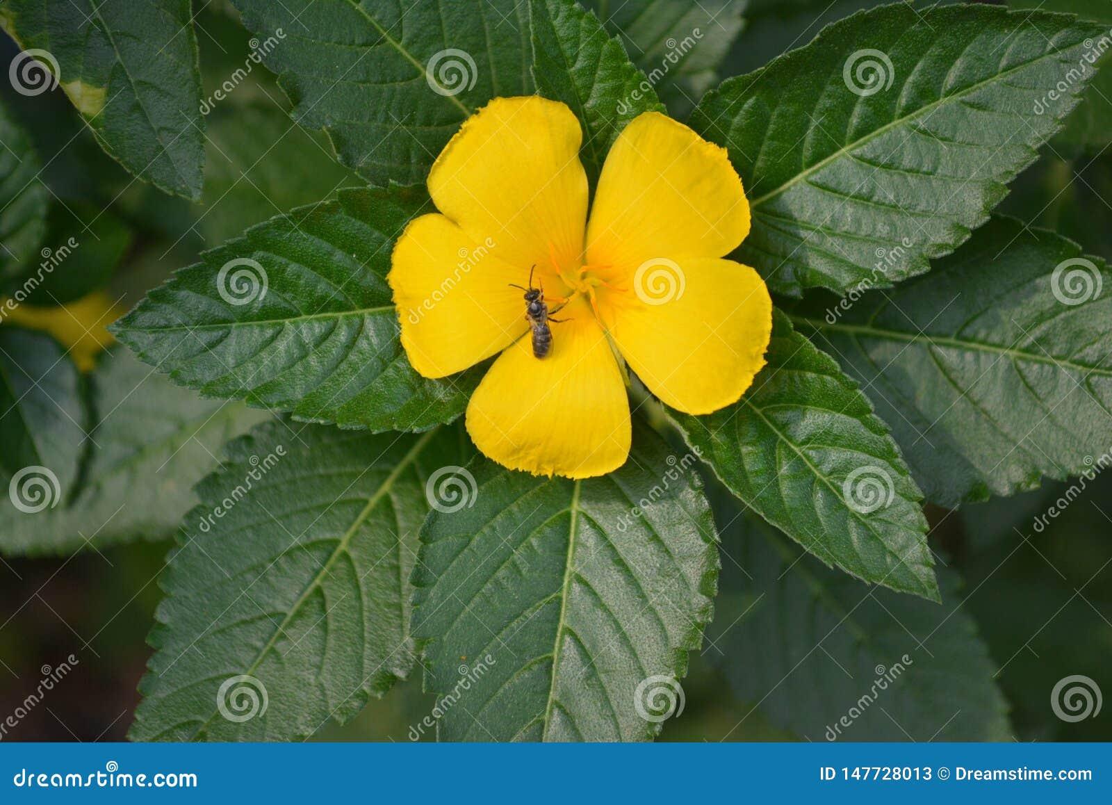 Piękny żółty kwiat od mój ogrodowego inThailand
