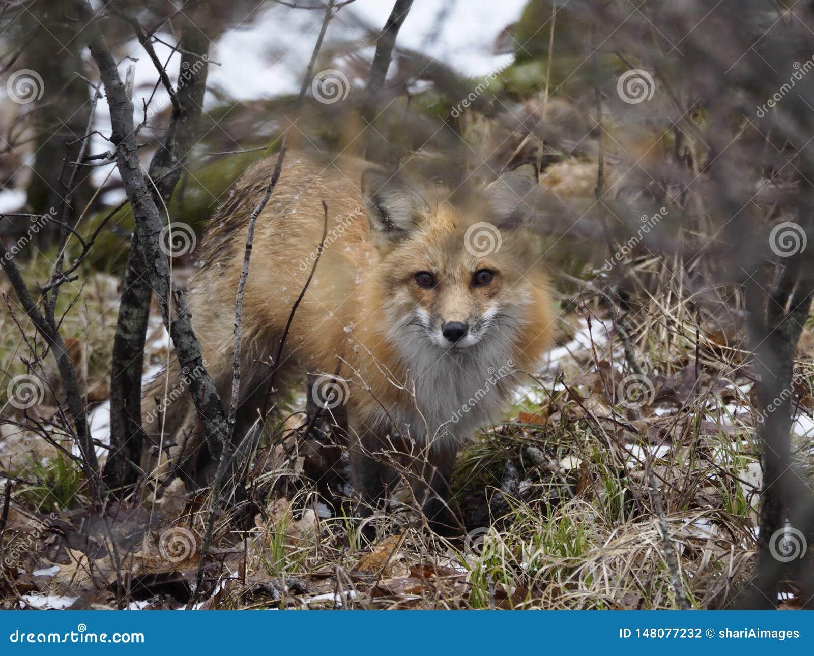 Piękny ale przezornie Czerwonego Fox polowanie,