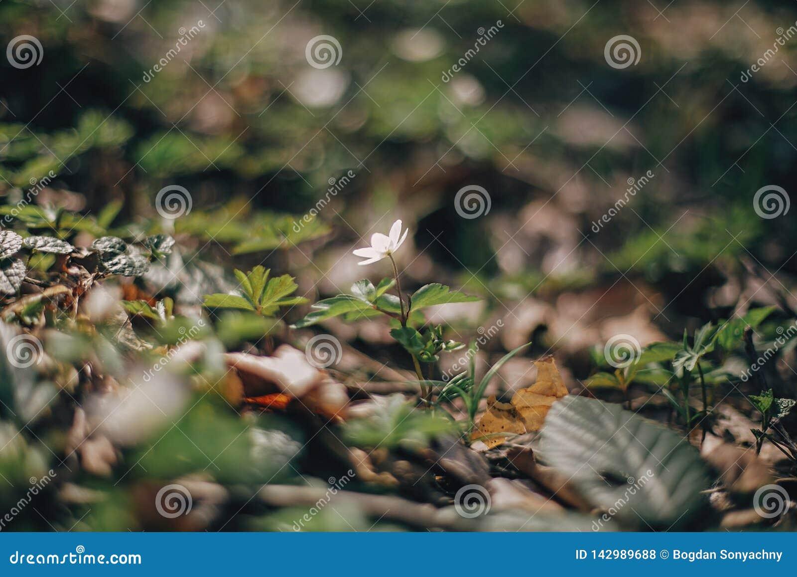Piękny anemonowy biały kwiat w pogodnych wiosen drewnach Świeży pierwszy kwitnie w ciepłym świetle słonecznym w lasowej wiośnie C