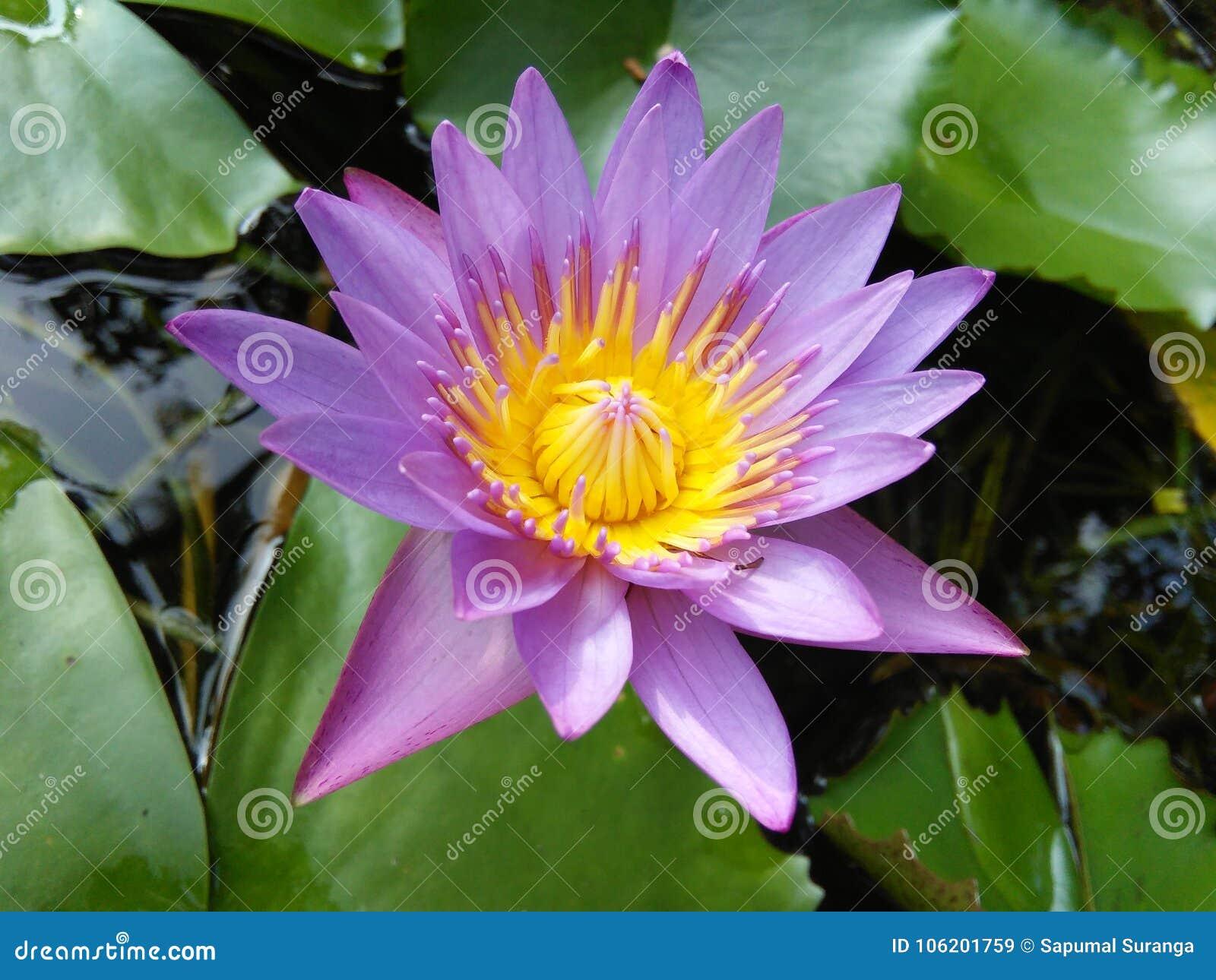Piękny błękitny leluja kwiat sri lanki naturalne fotografie