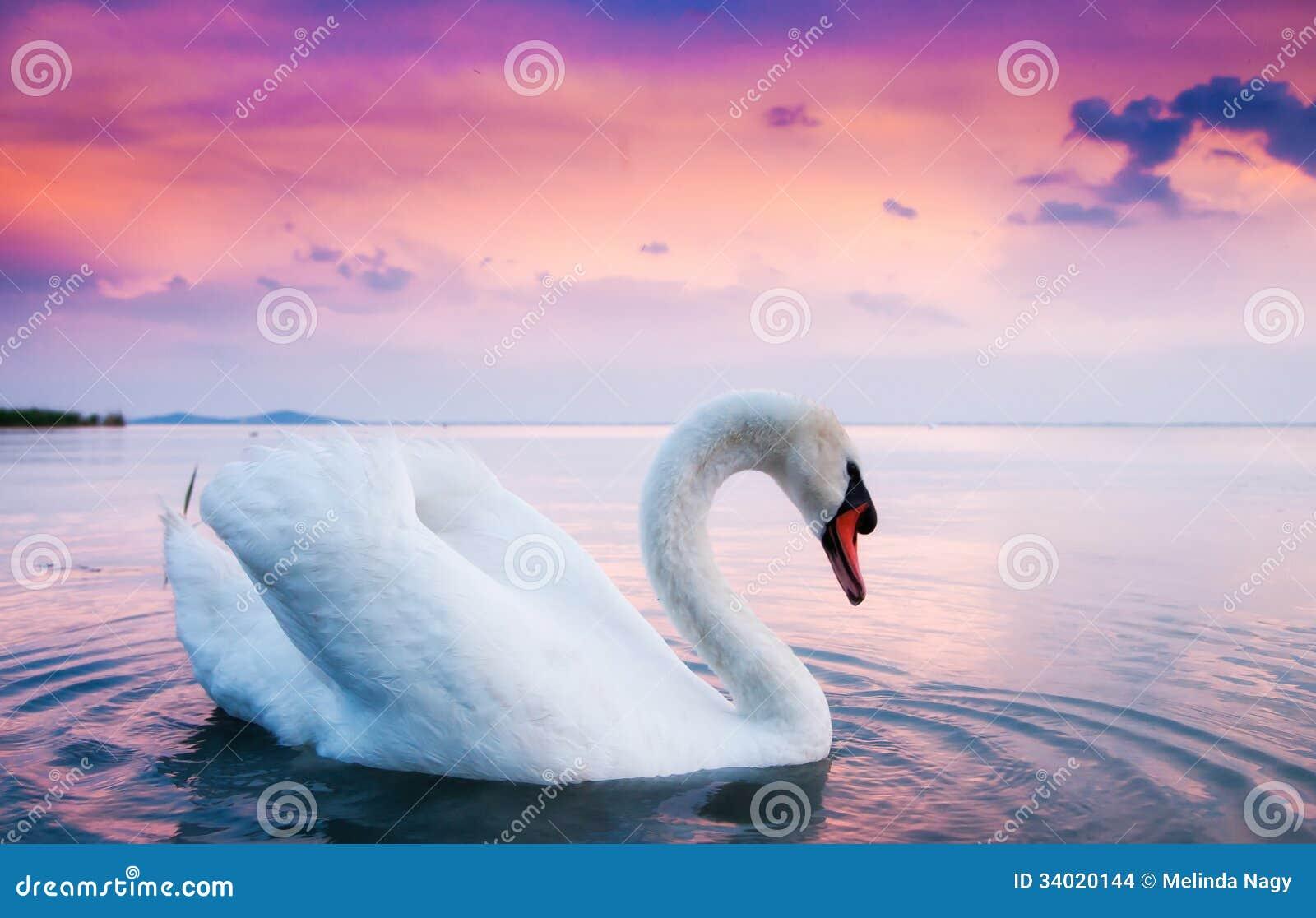 Piękny biały łabędź