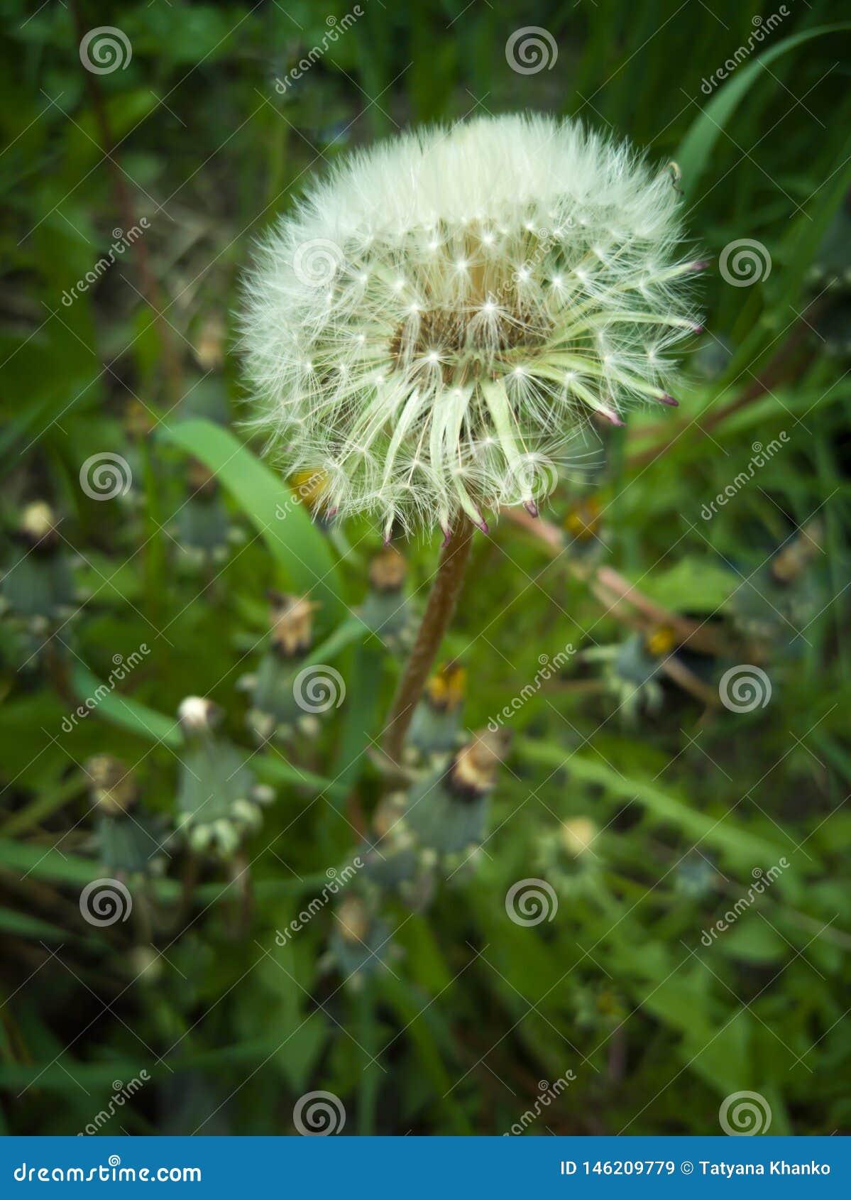 Piękny biały dandelion na naturze