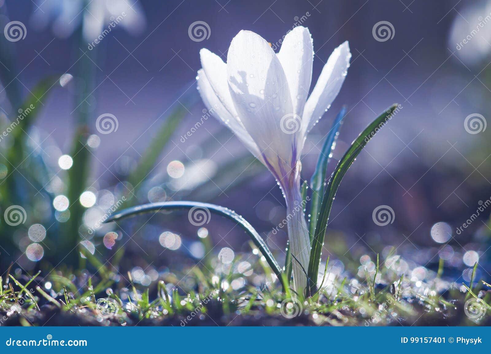 Piękny biały krokusa kwiat w kroplach woda na pogodnym sprin