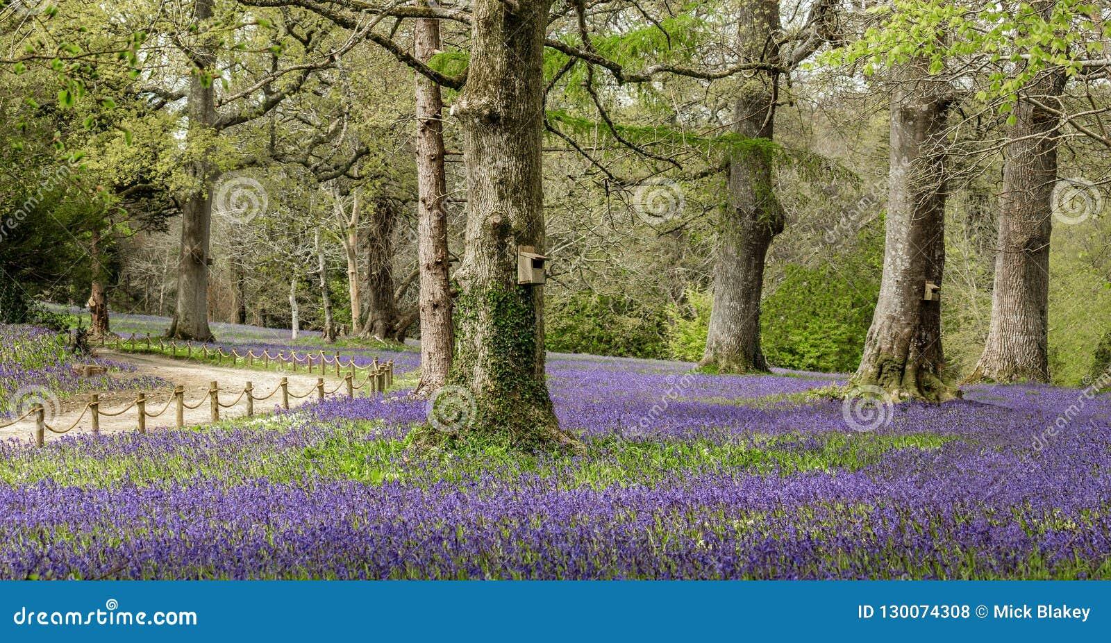 Piękny Bluebell drewno, Południowy Cornwall