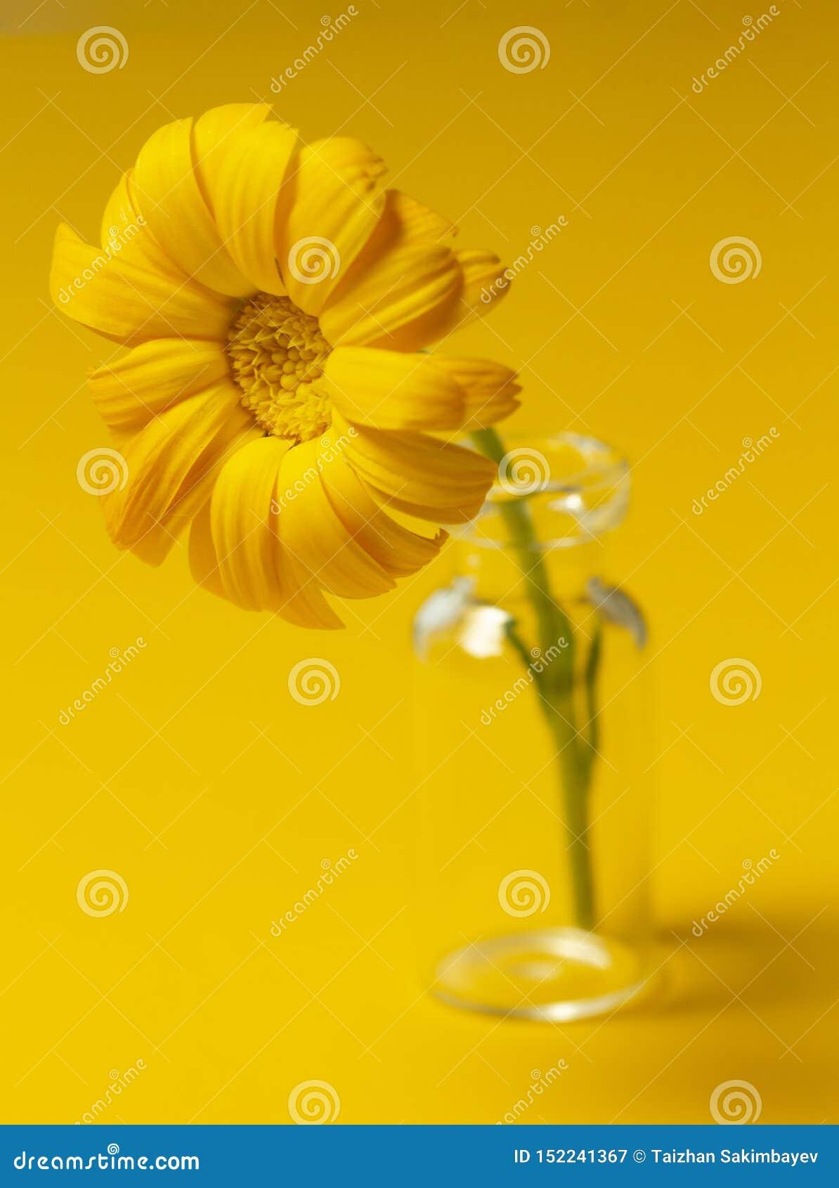 Piękny calendula kwiat w szklanym słoju na żółtym tle Medycyny alternatywny Poj?cie Minimalizmu styl