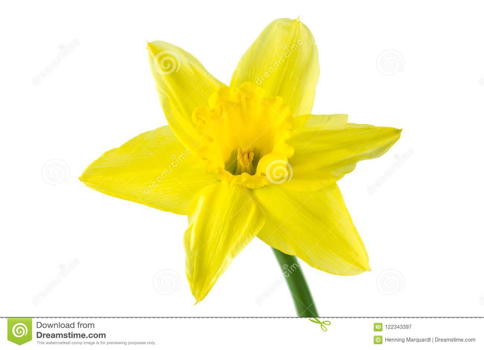 Piękny daffodil kwiat odizolowywający na białym tle