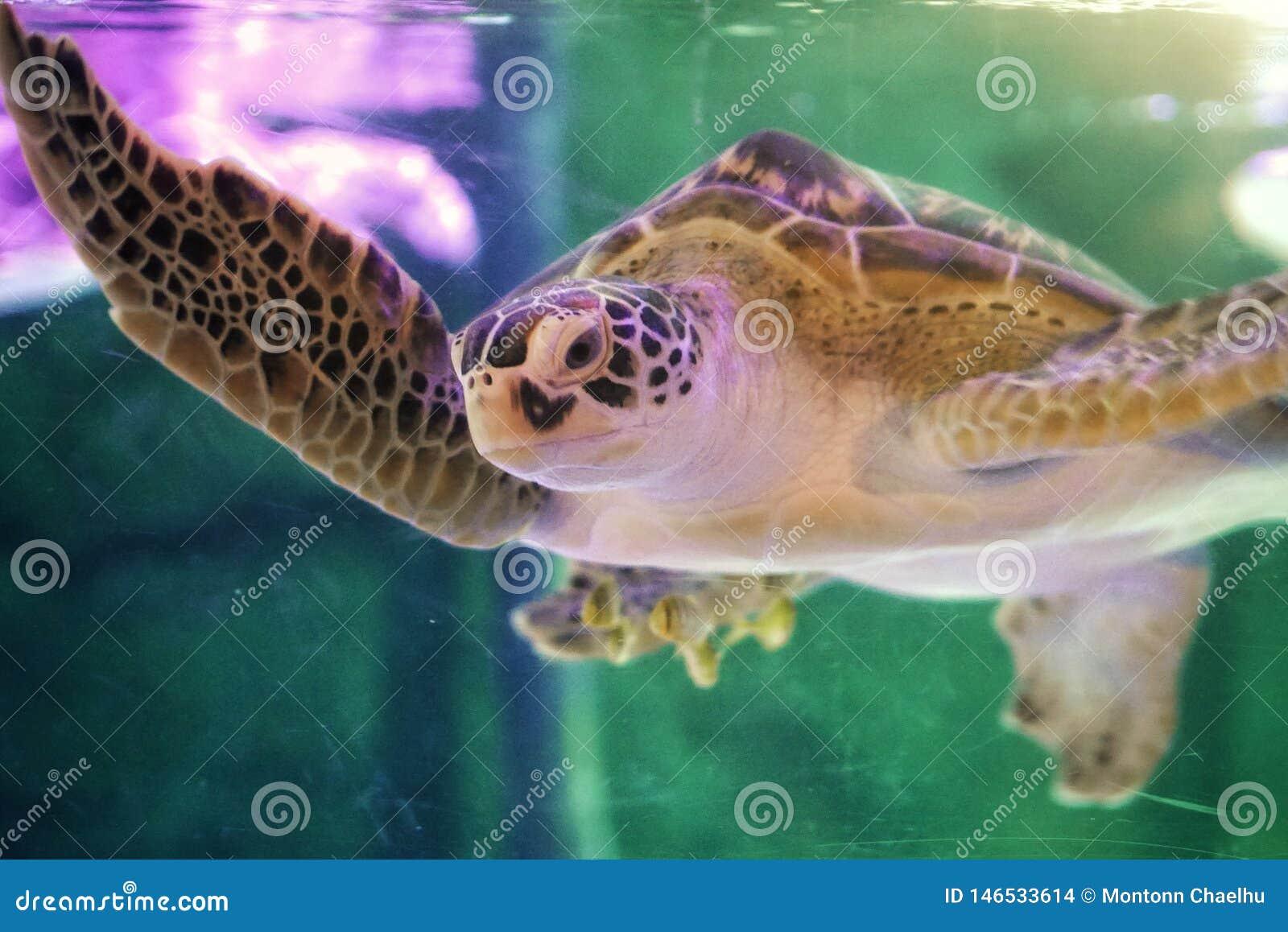 Piękny denny żółw zamknięty w górę