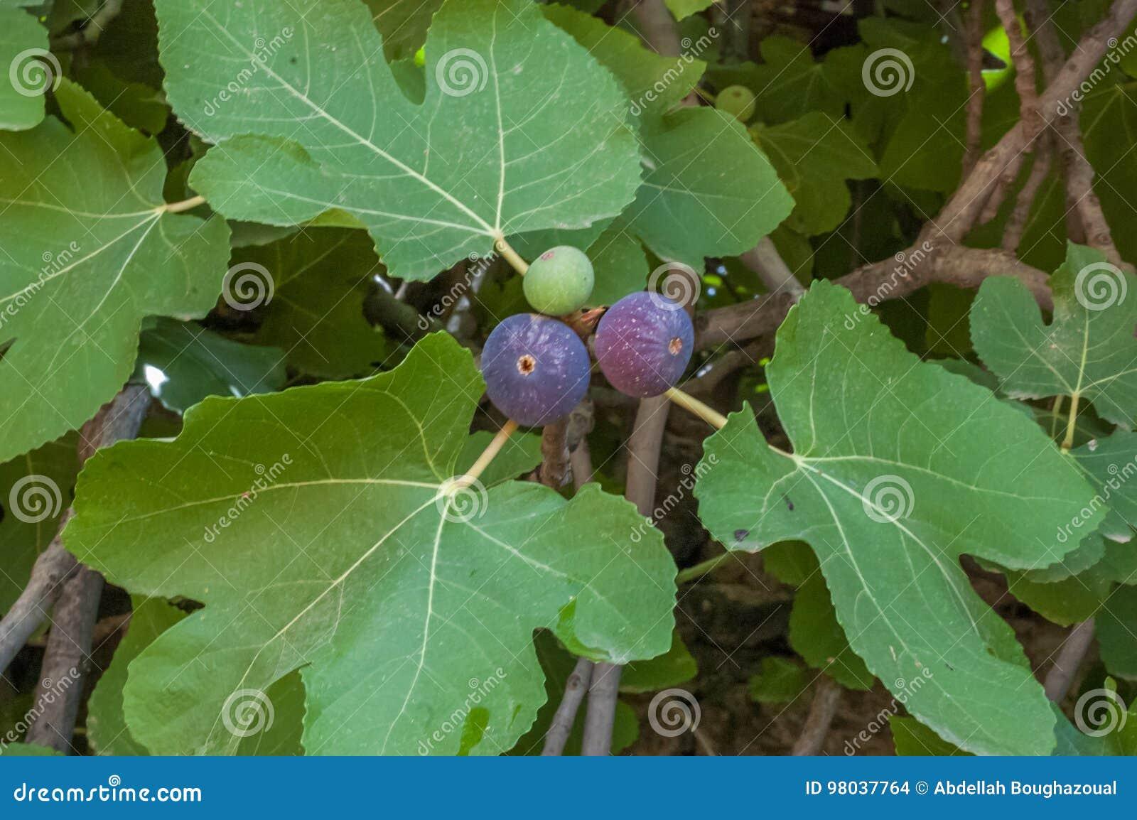 Piękny drzewo słodka figa