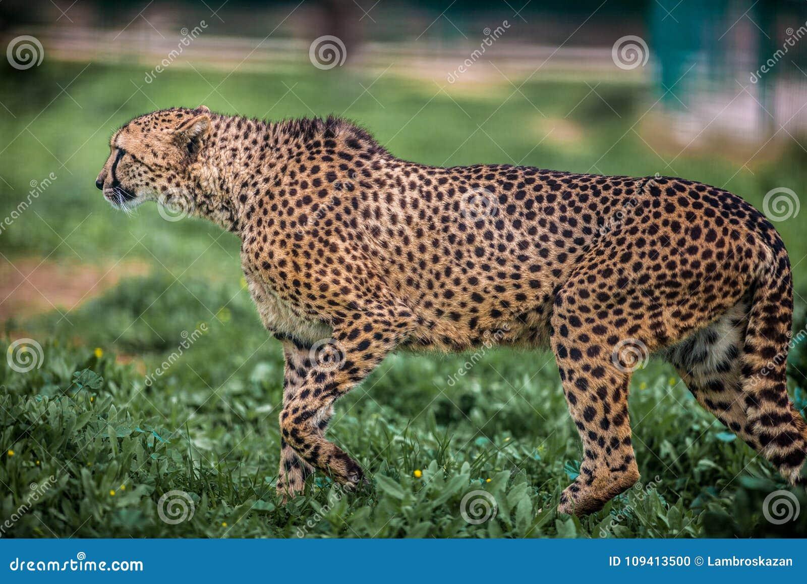 Piękny Dziki geparda chodzić ostrożny na zieleni polach, Zamyka up