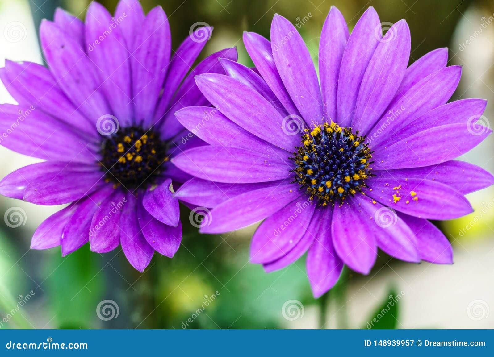 Pi?kny fio?kowy kwiat, Makro- strza?