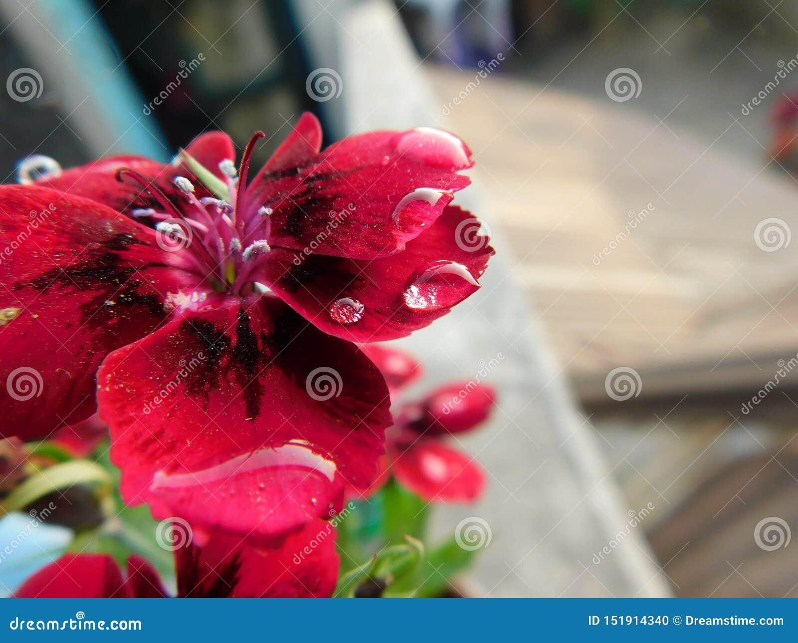 Piękny i śliczny czerwień ogródu kwiat z małymi wieloskładnikowymi wodnymi kropelkami