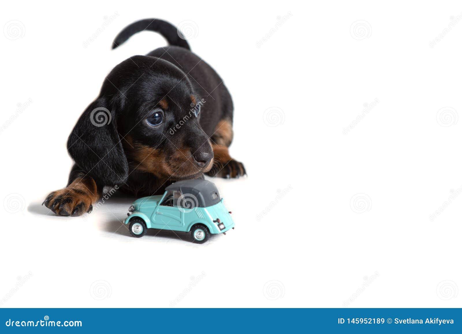 Piękny jamnika szczeniak siedzi obok błękitnego zabawkarskiego samochodu i spojrzeń naprzód