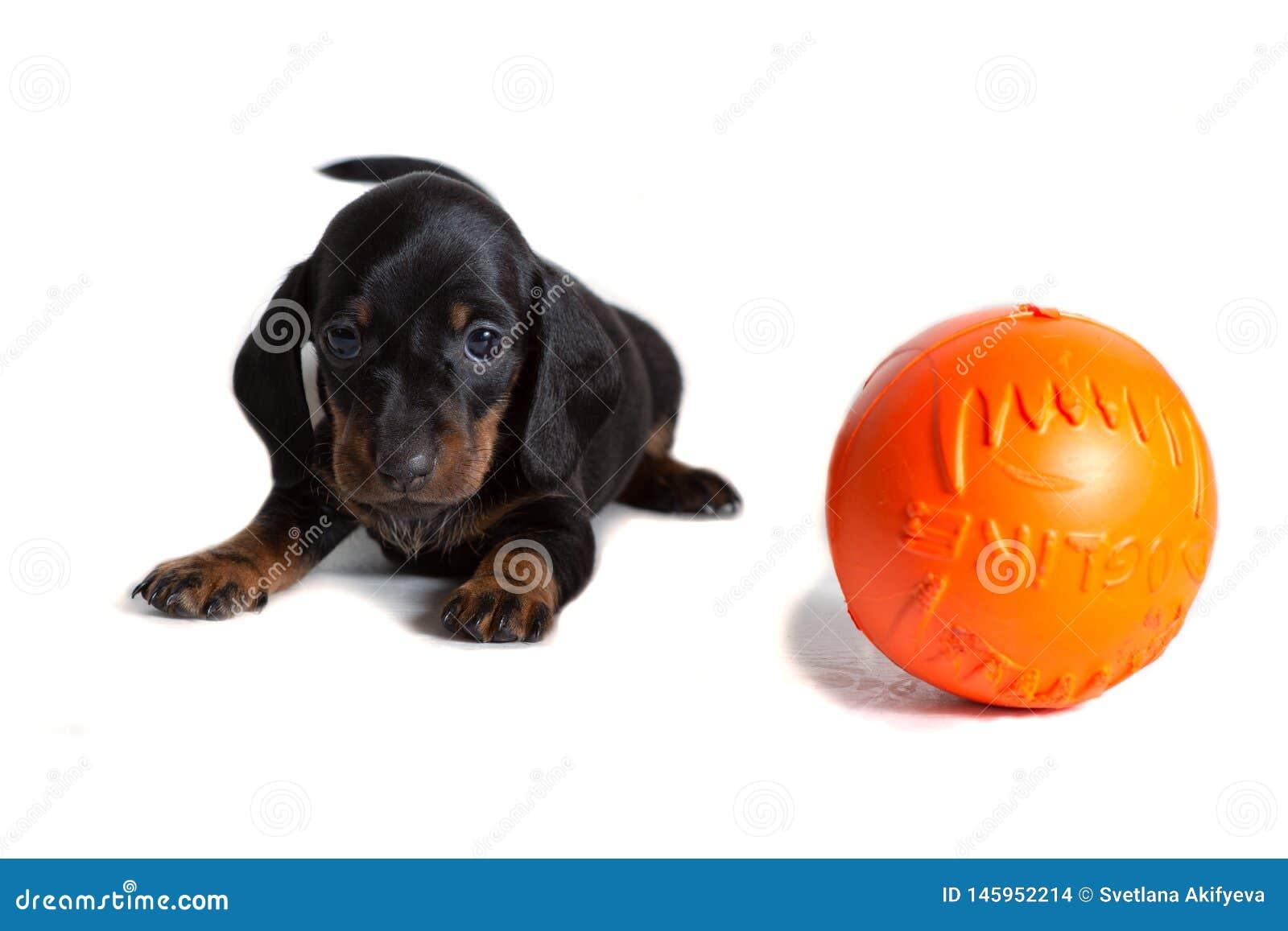 Piękny jamnika szczeniak siedzi obok pomarańczowej piłki i spojrzeń naprzód