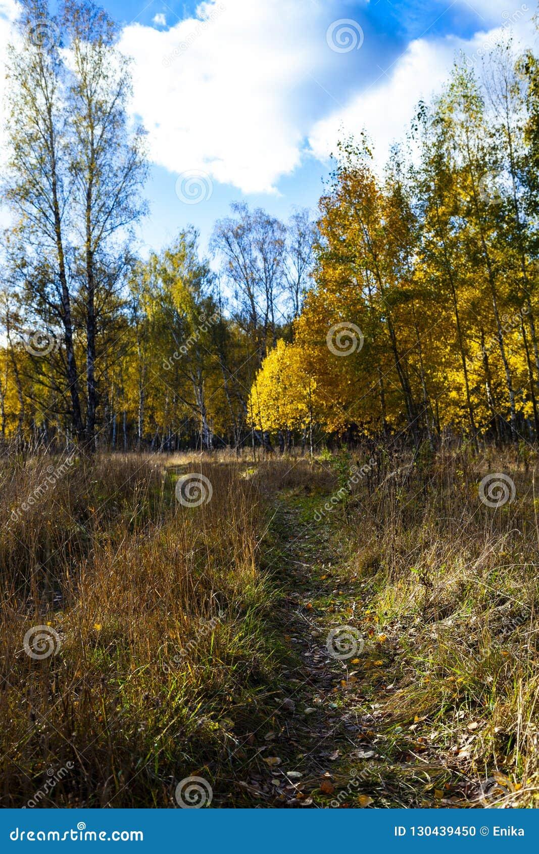 Piękny jesieni brzozy gaj