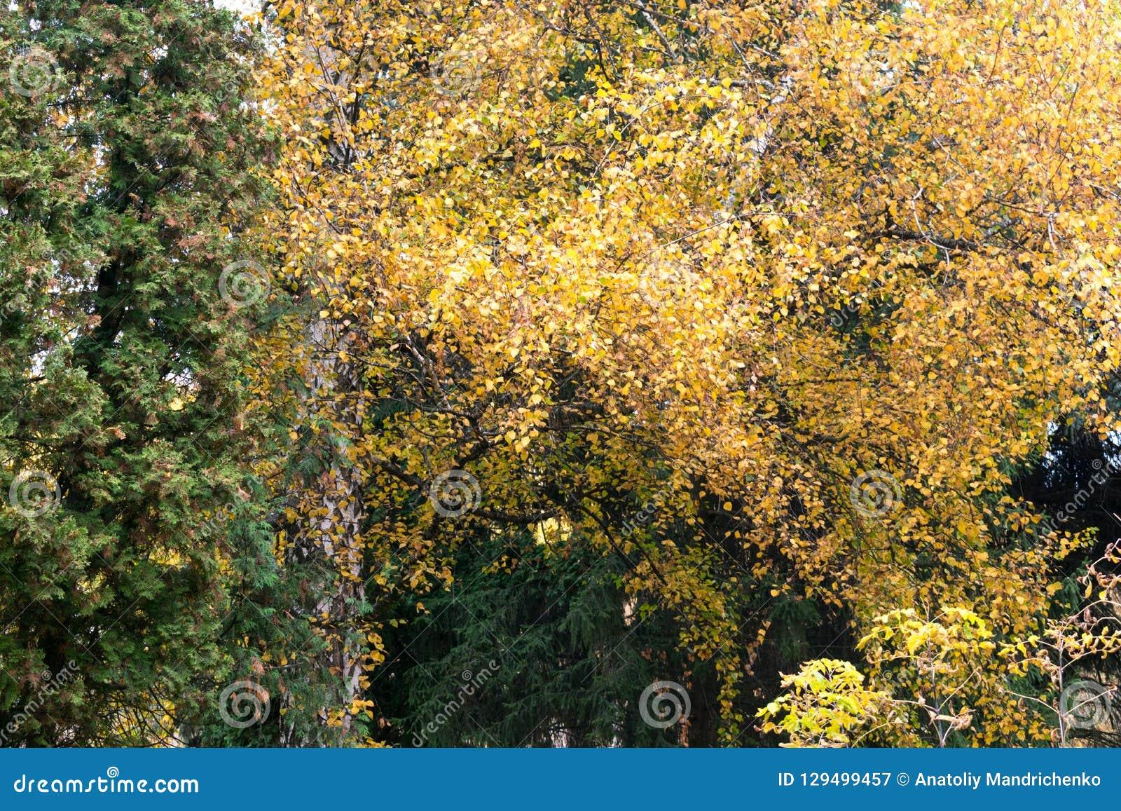 Piękny jesieni ulistnienie brzoza