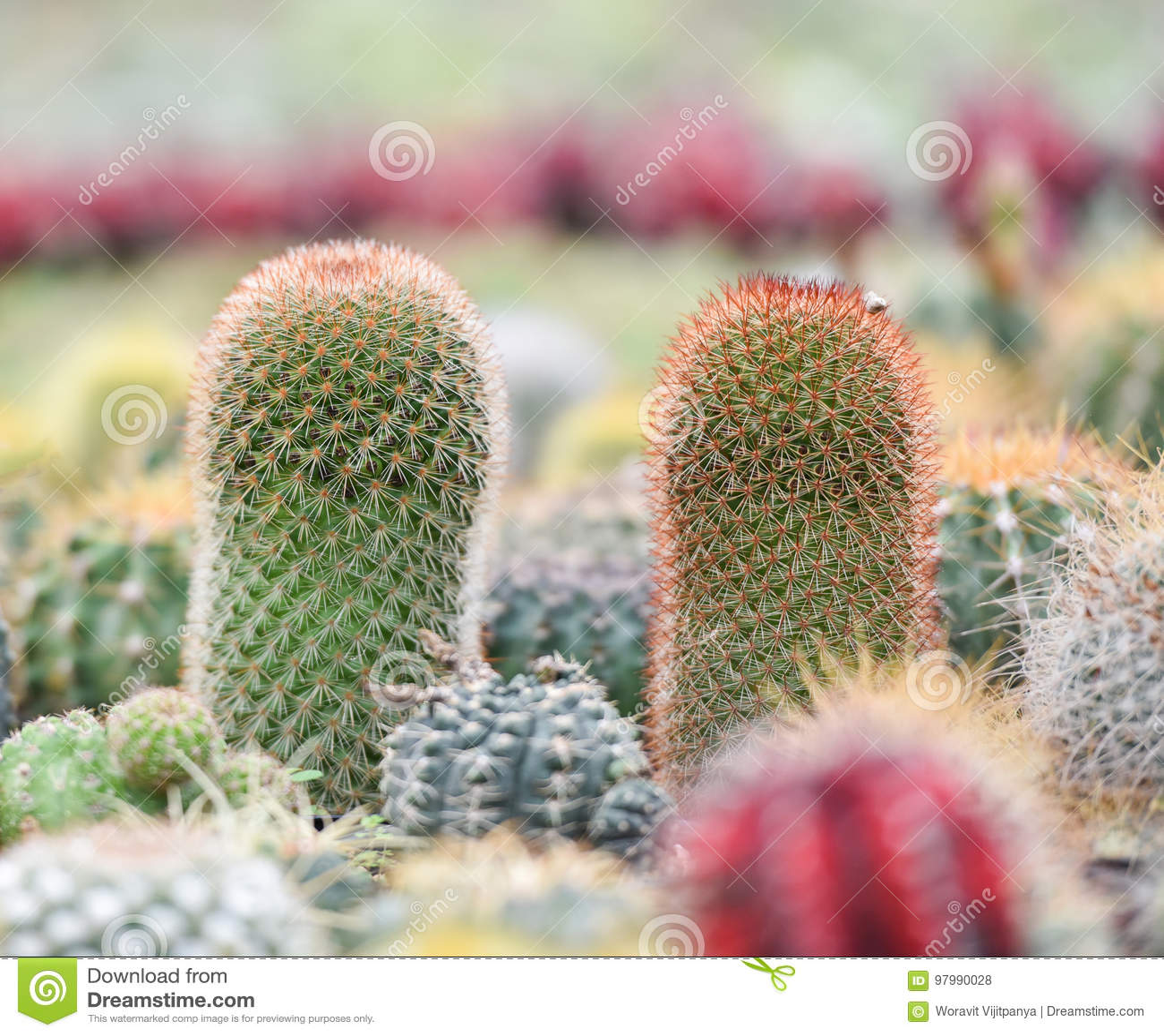 Piękny kaktus