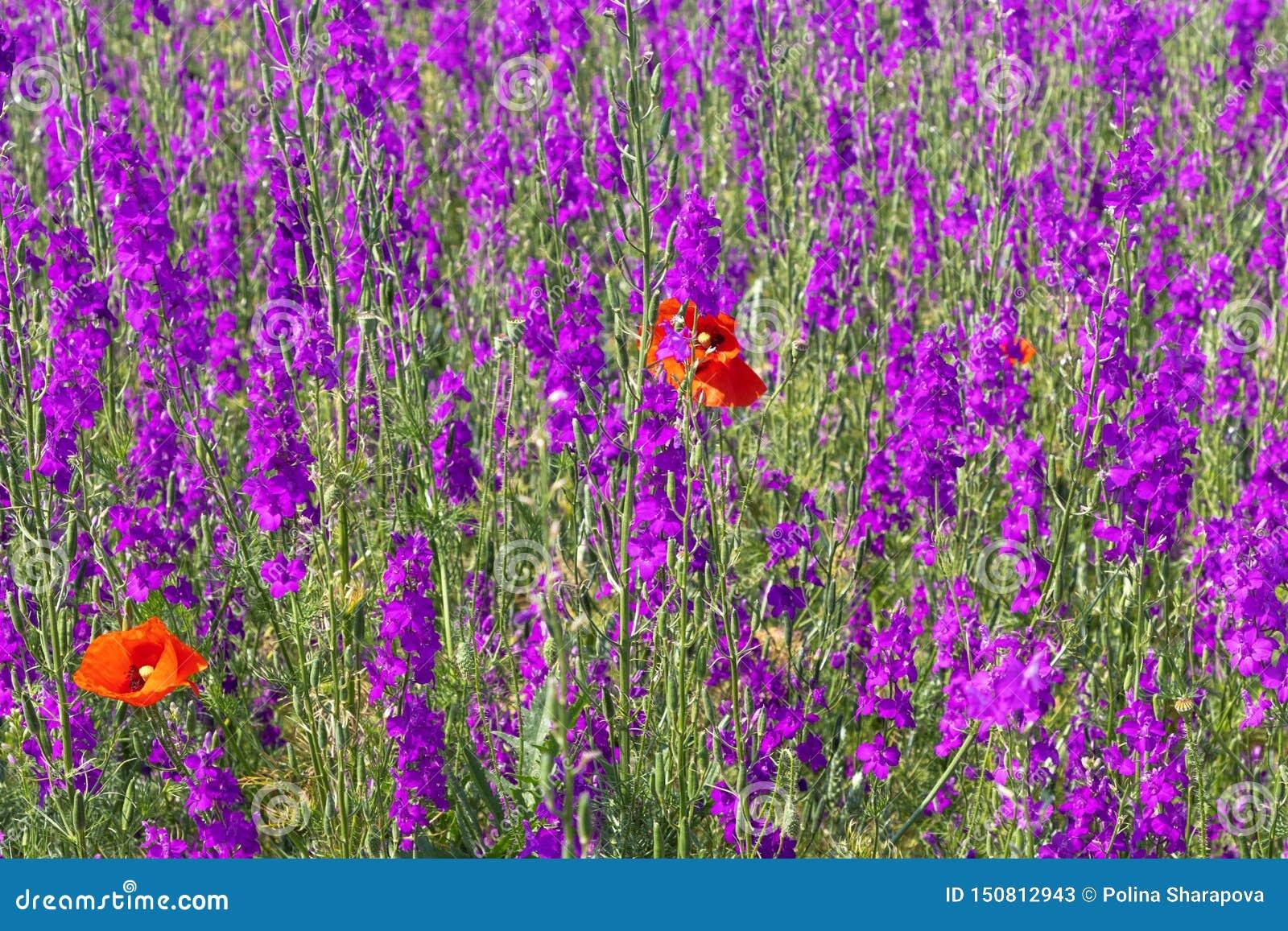 Piękny kolorowy kwiatu pole, purpura kwiaty i dwa jaskrawego czerwonego maczka,