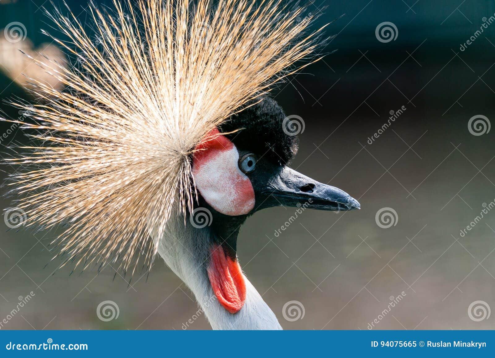 Piękny koronowany dźwigowy Balearica pavonina