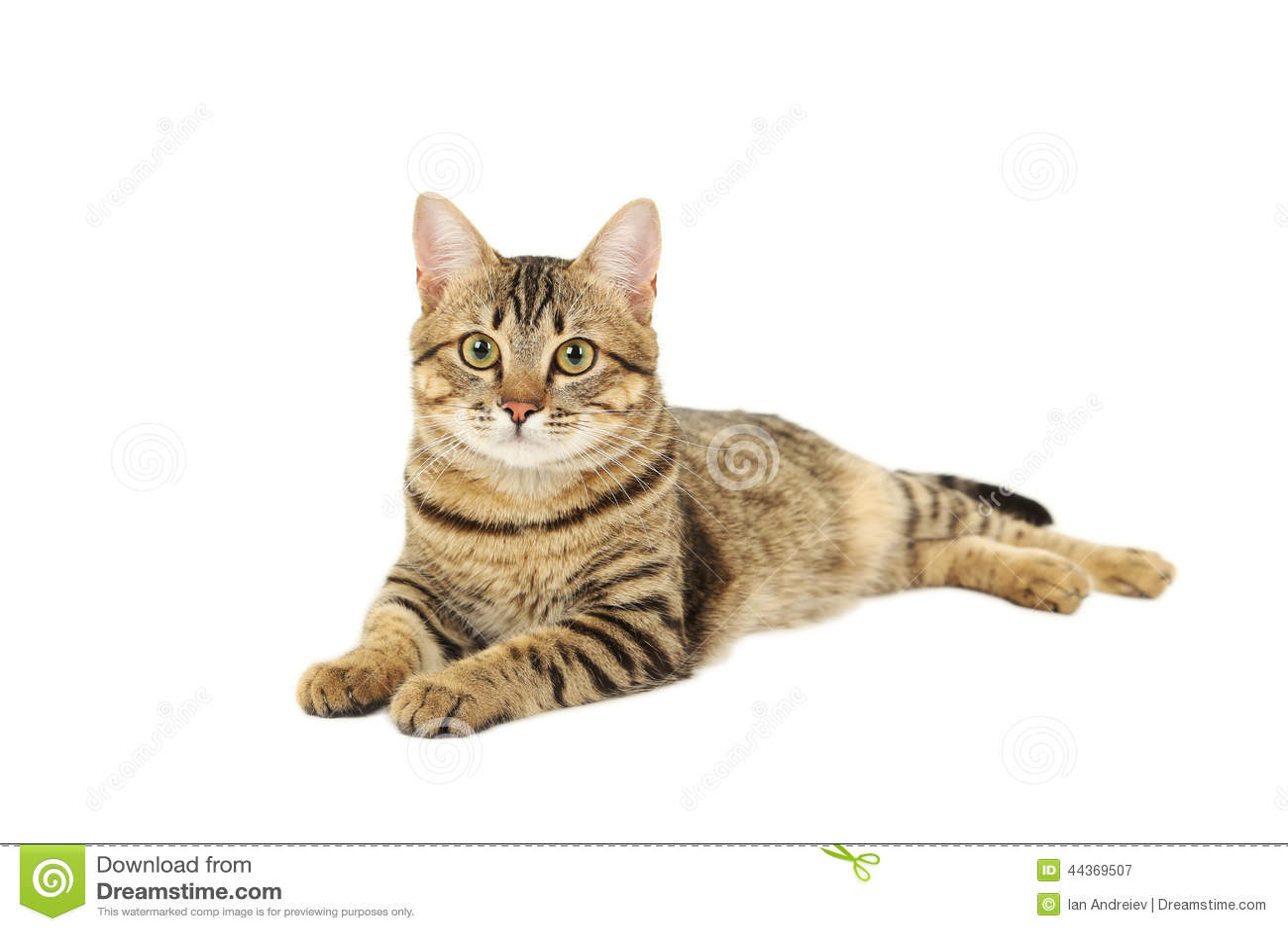 Piękny kot odizolowywający na białym tle