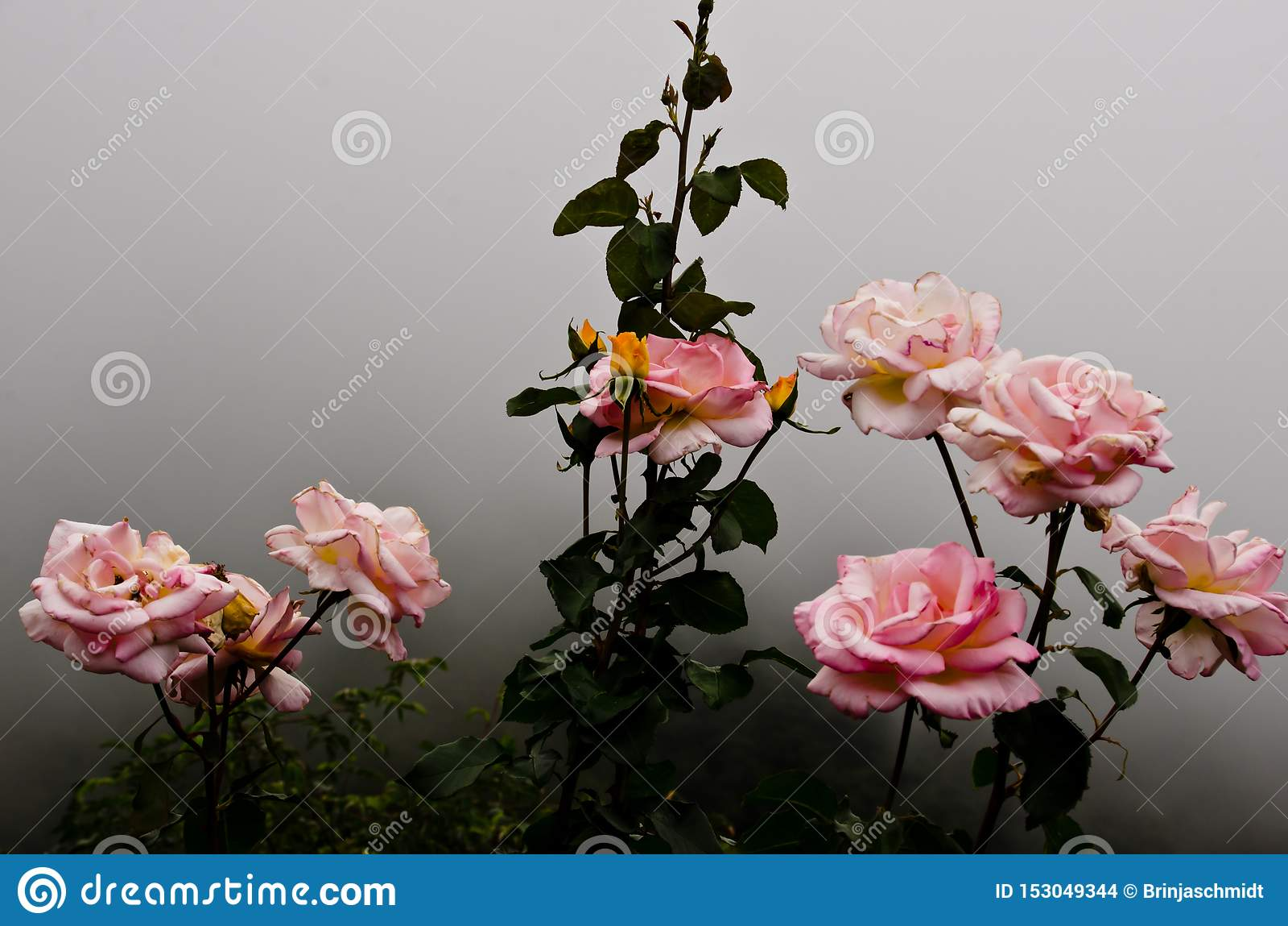 Piękny krzak różowe róże w mgle