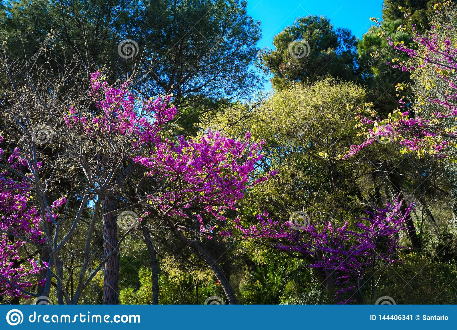 Piękny kwitnienie ogród z menchiami, fuksja, purpura kwitnie