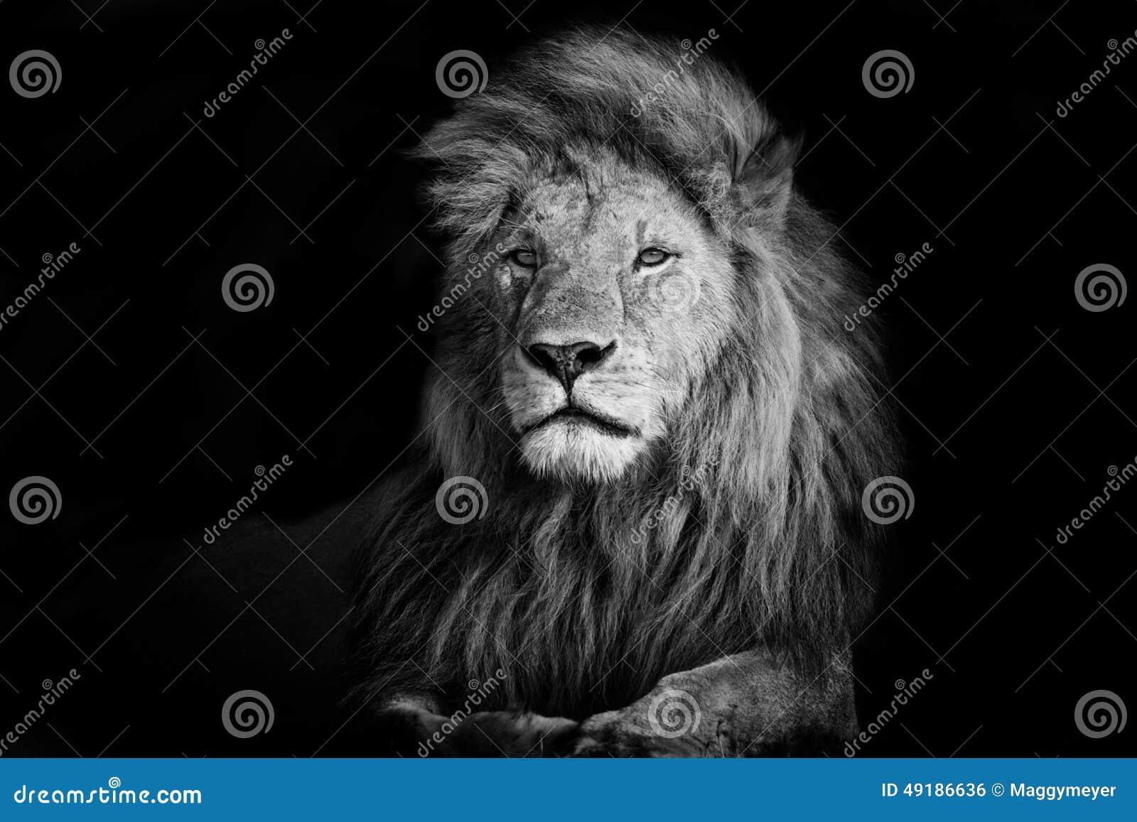 Piękny lew Romeo II