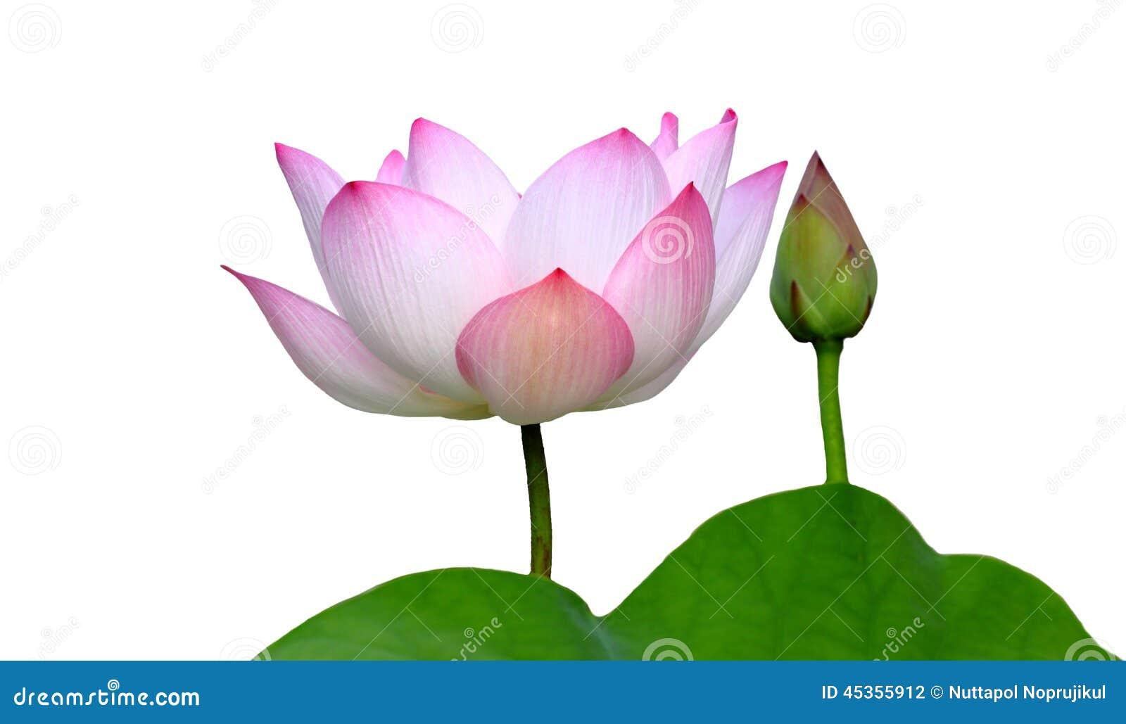 Piękny lotos (Pojedynczy lotosowy kwiat odizolowywający na białym tle