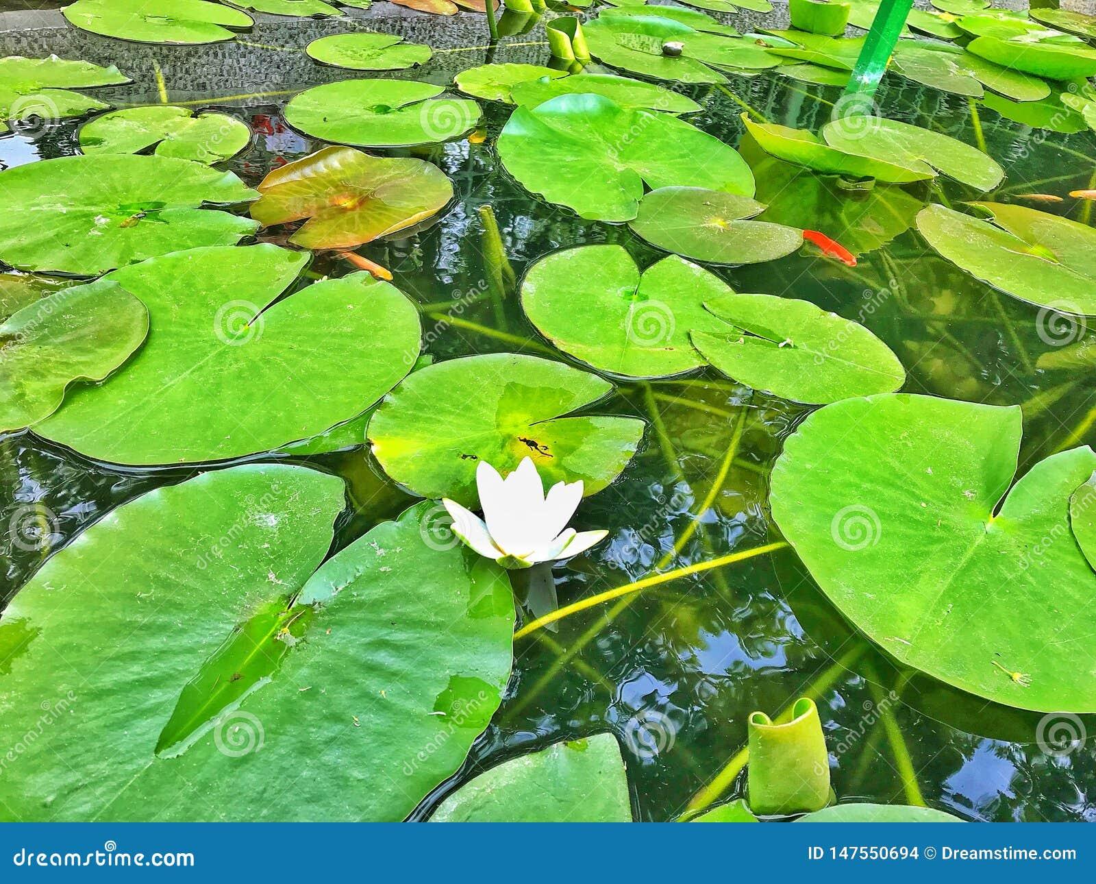 Piękny lotos w naturze
