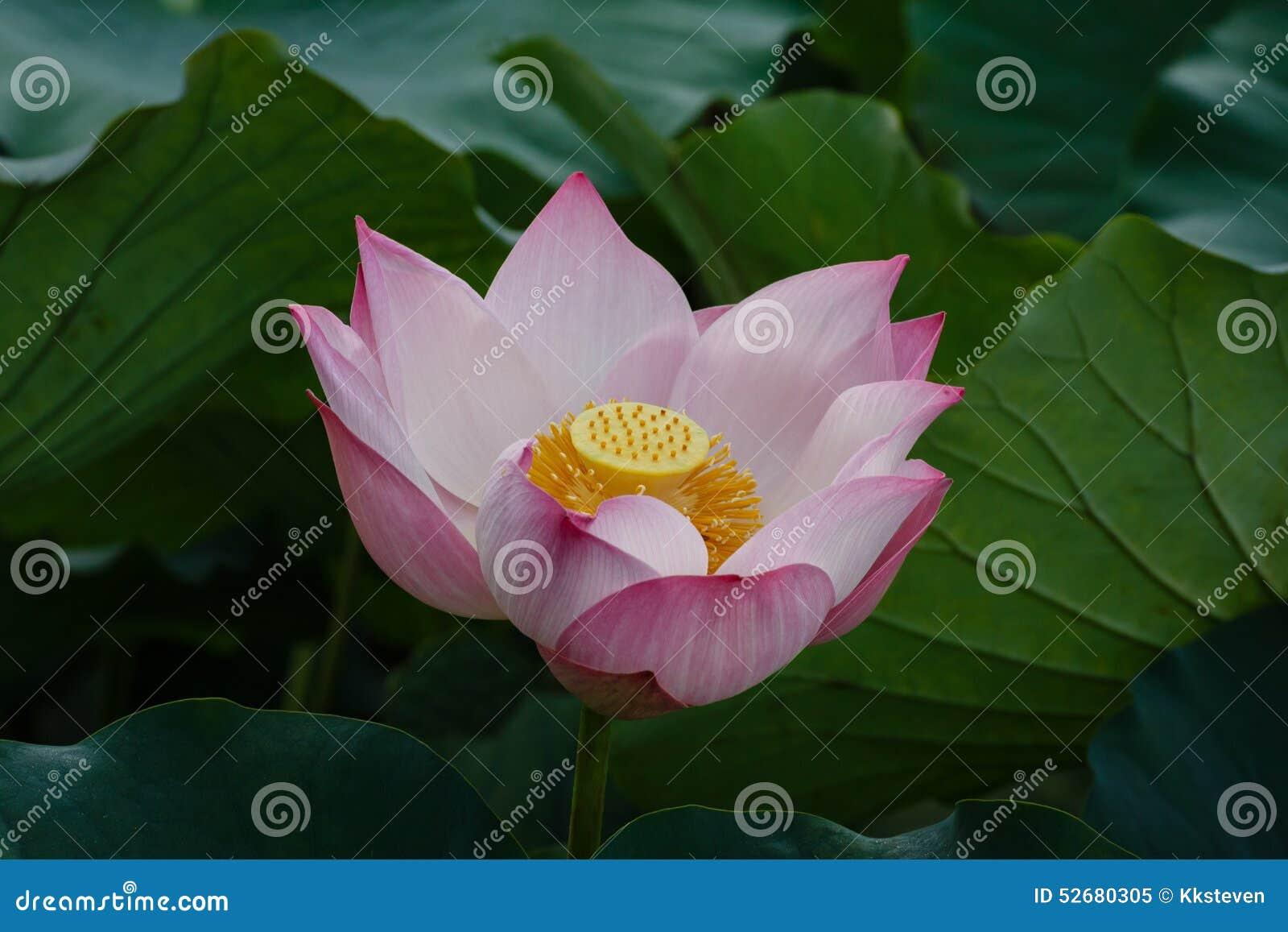 Piękny Lotosowego kwiatu kwitnienie