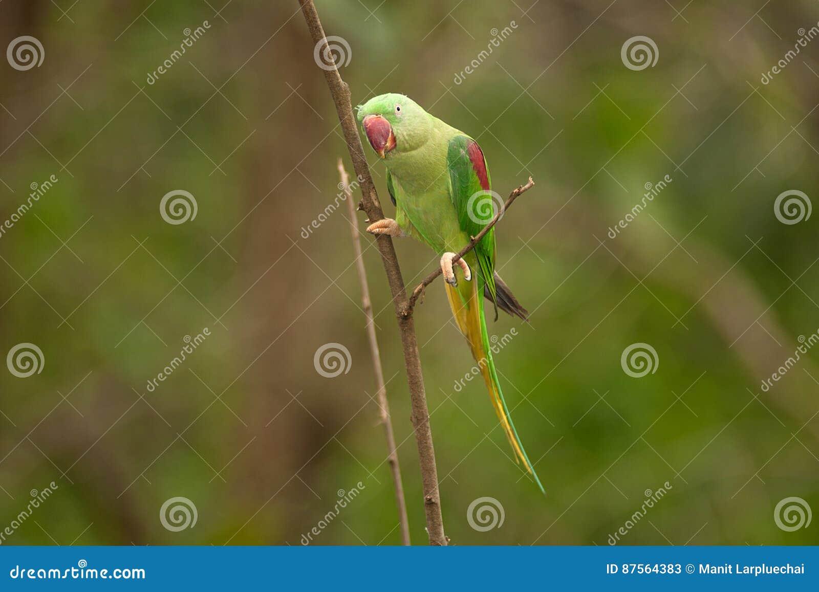 Piękny męski aleksandrynu Parakeet Psittacula eupatria