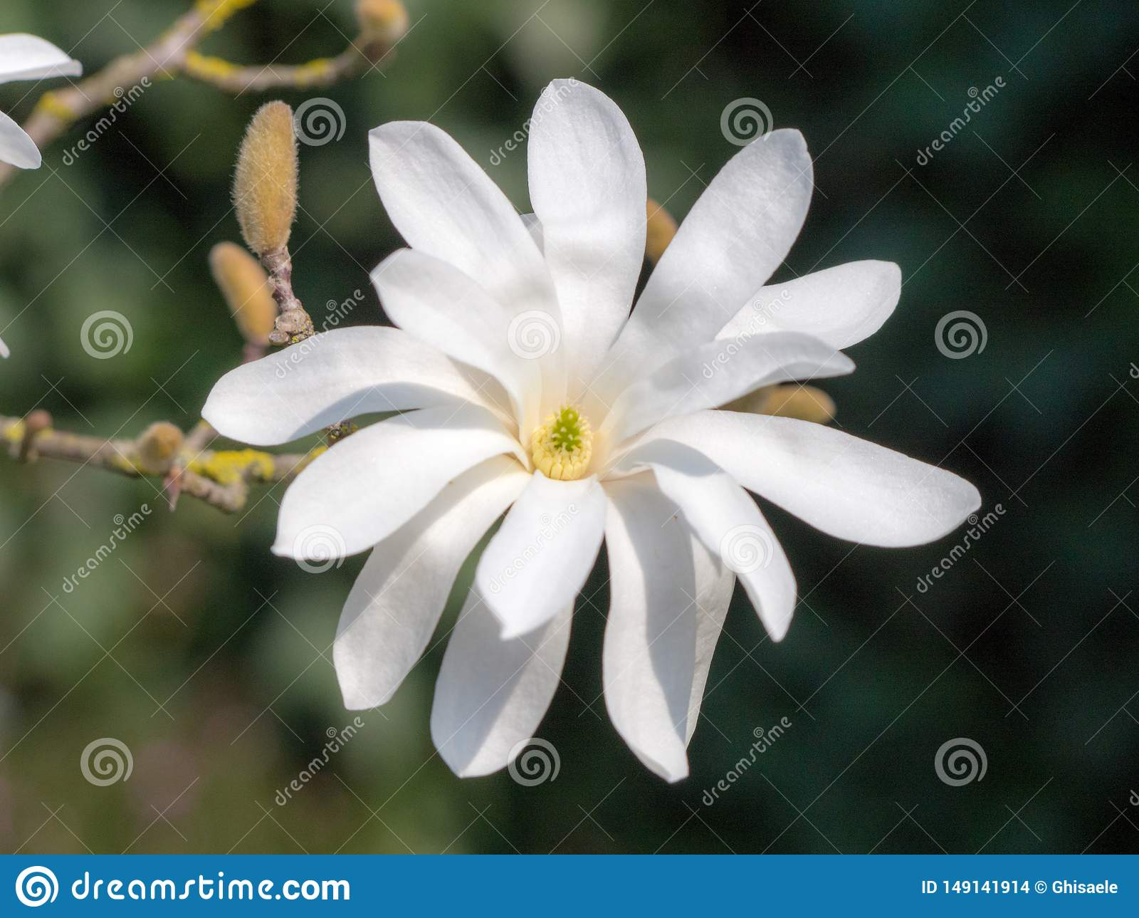Pi?kny magnoliowy stellata w ogr?dzie