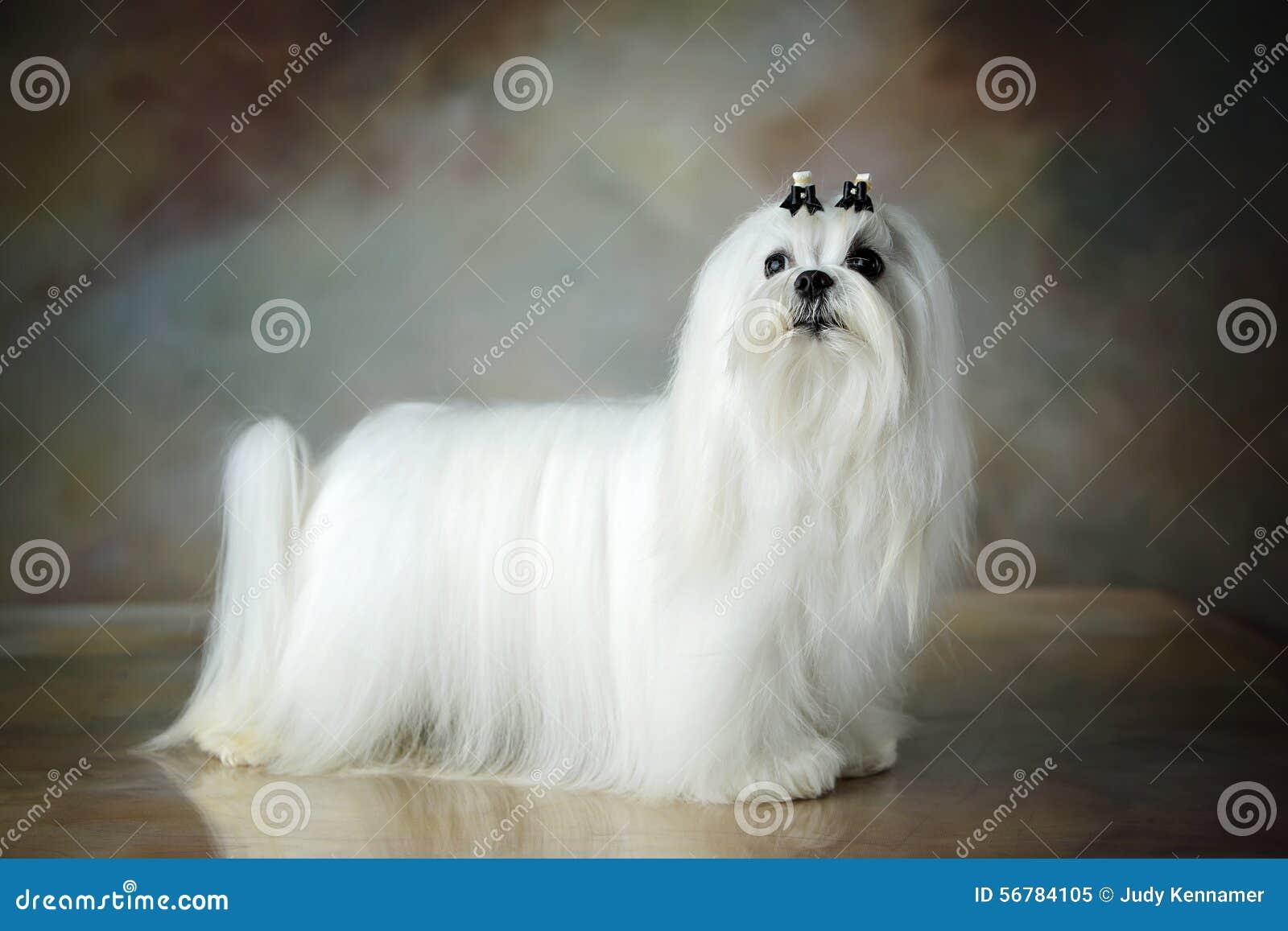 Piękny Maltański pies