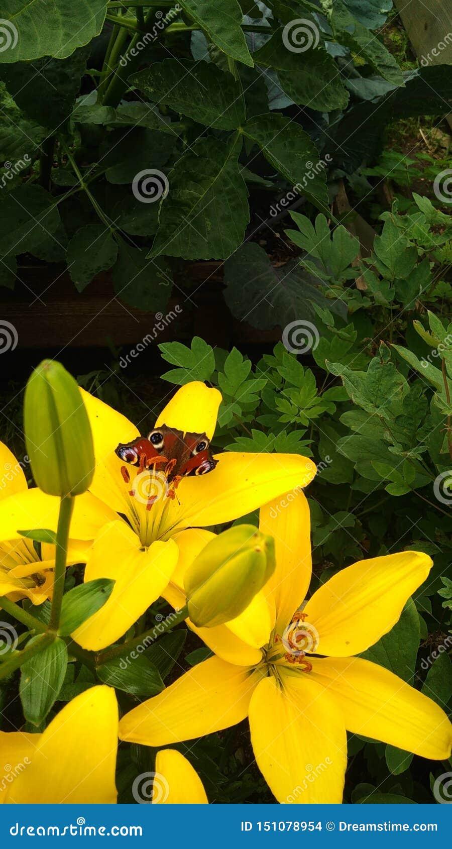 Piękny motyl na żółtej lelui Bush