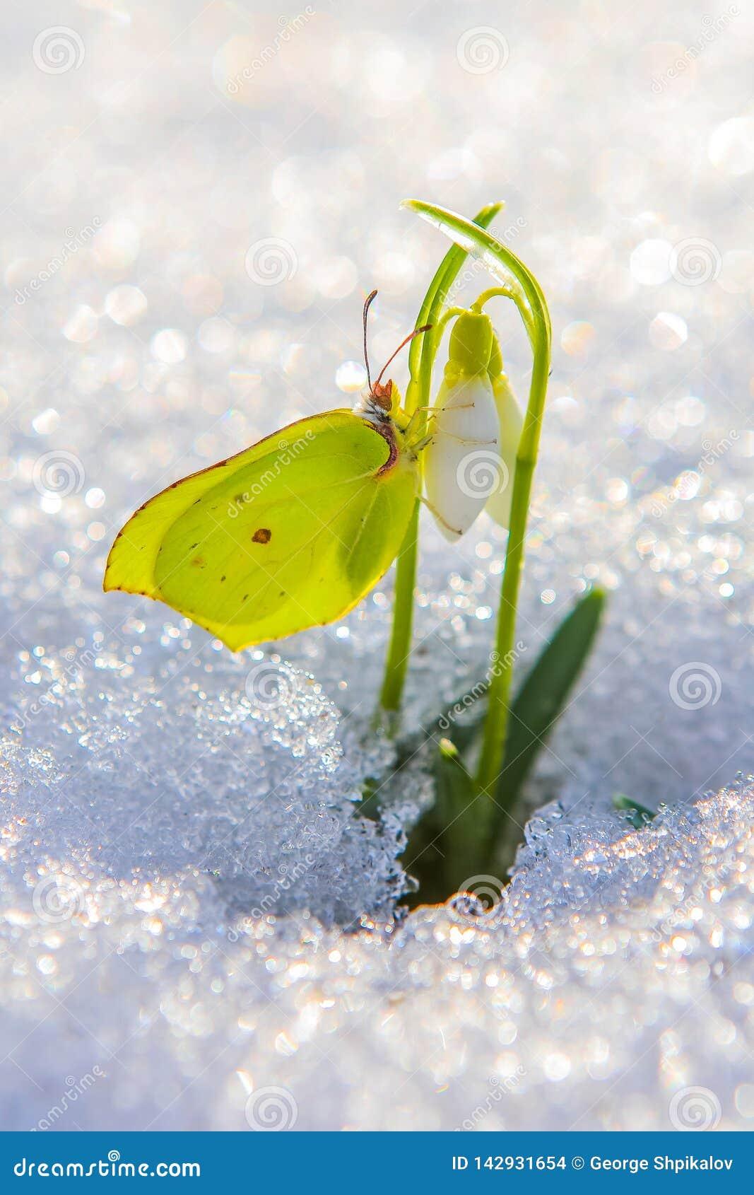 Piękny motyl wspina się w górę pierwszy śnieżyczka kwiatów nadchodzących za istnym śniegu w jaskrawym słońcu od, pionowo