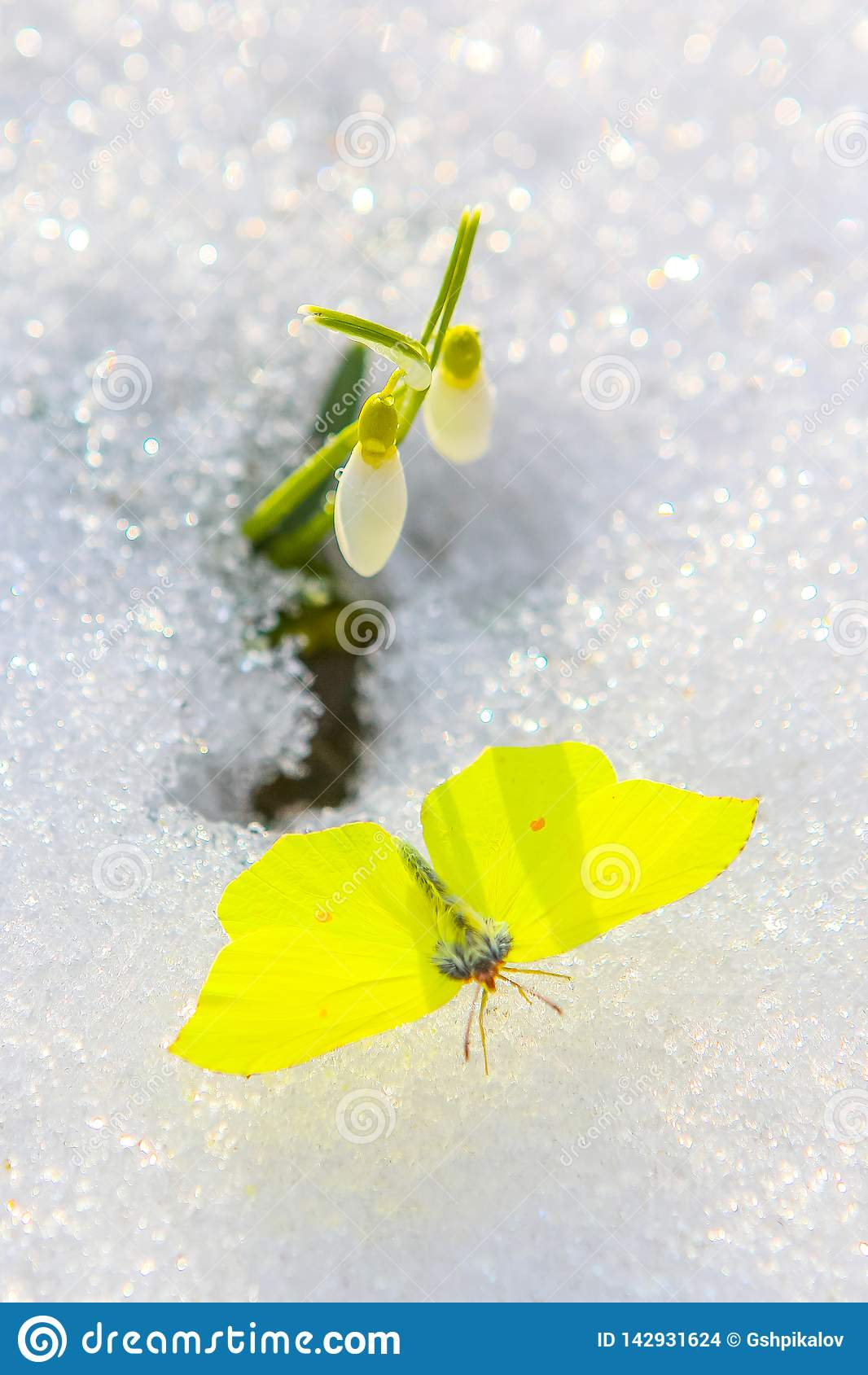 Piękny motyl z rozciągniętymi skrzydłami pod śnieżyczka kwiatem nadchodzącym za istnym śniegu od Zamyka up z selekcyjną ostrością