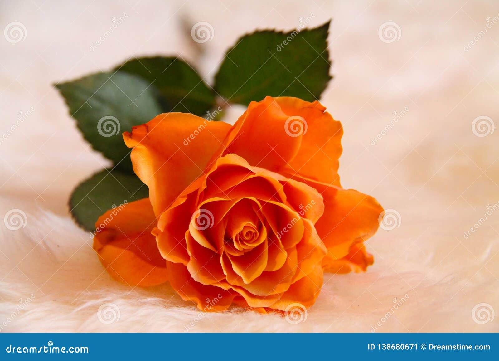 Piękny, pojedynczy pomarańcze róży jaśnienie przy nasz oczami,