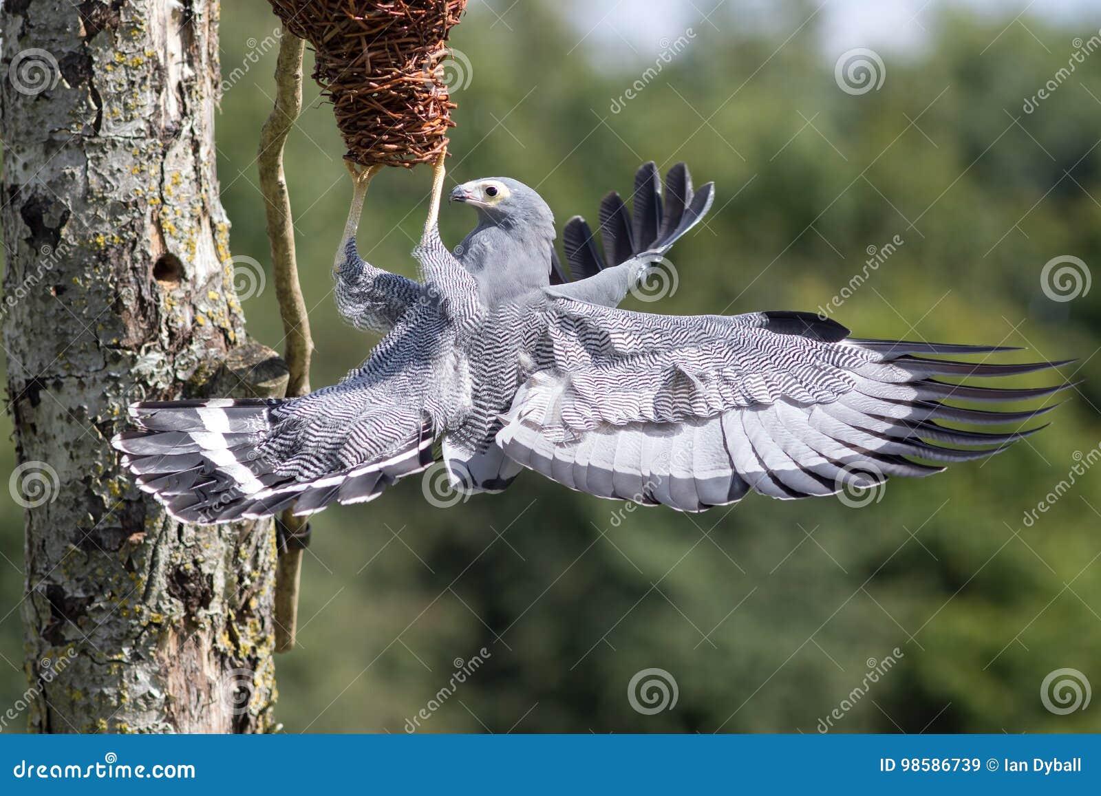 Piękny przyroda wizerunek Afrykański błotniaka jastrzębia ptak zdobycz