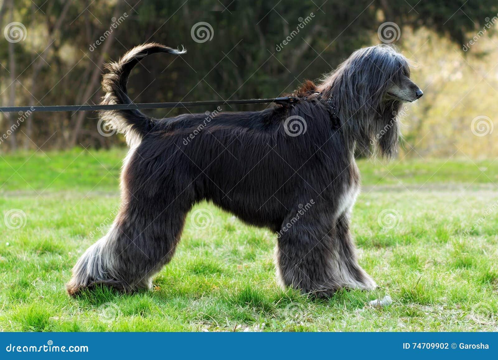 Piękny psi trakenu afgańczyk jest na smyczu