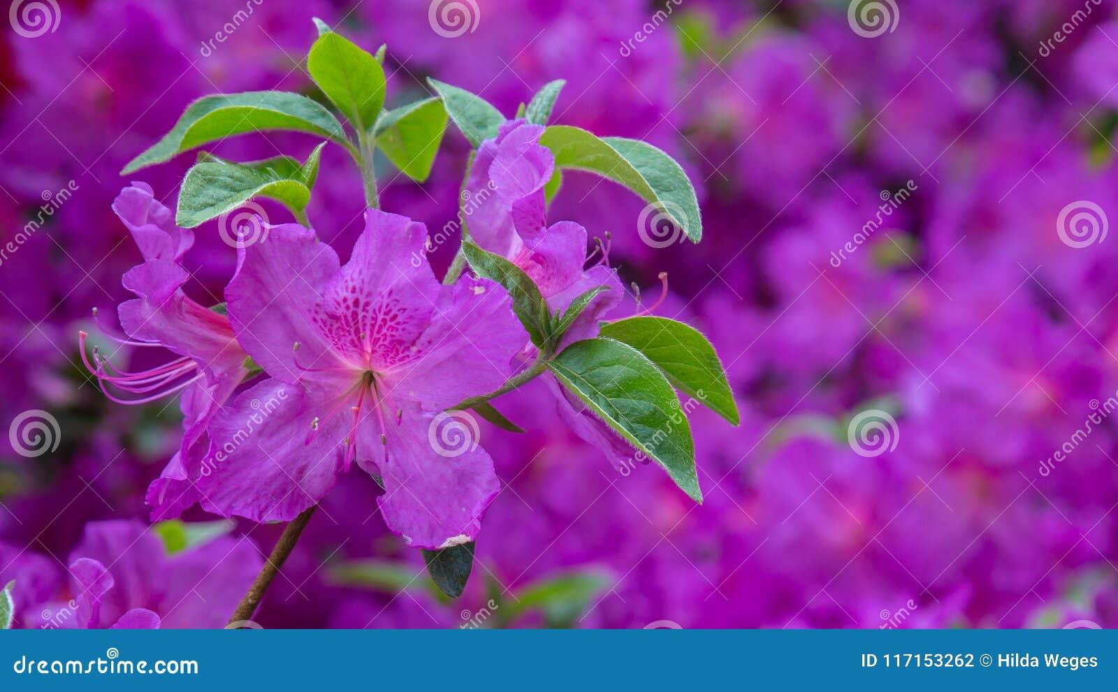 Piękny różowy azalia sztandar