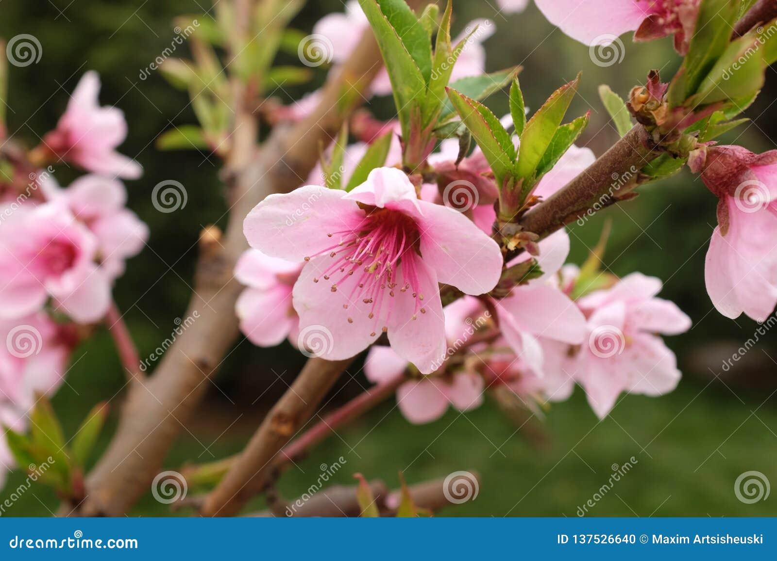 Piękny różowy czereśniowy okwitnięcie kwitnie w wiośnie
