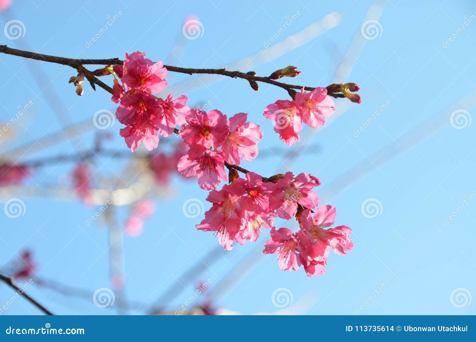 Piękny różowy czereśniowy okwitnięcie lub Sakura przeciw niebieskiego nieba backgro