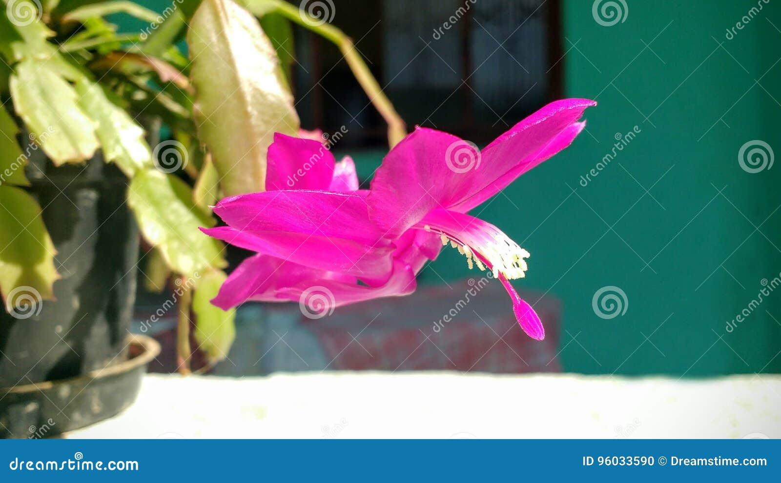 Piękny różowy jedwabniczy kwiat w słonecznym dniu