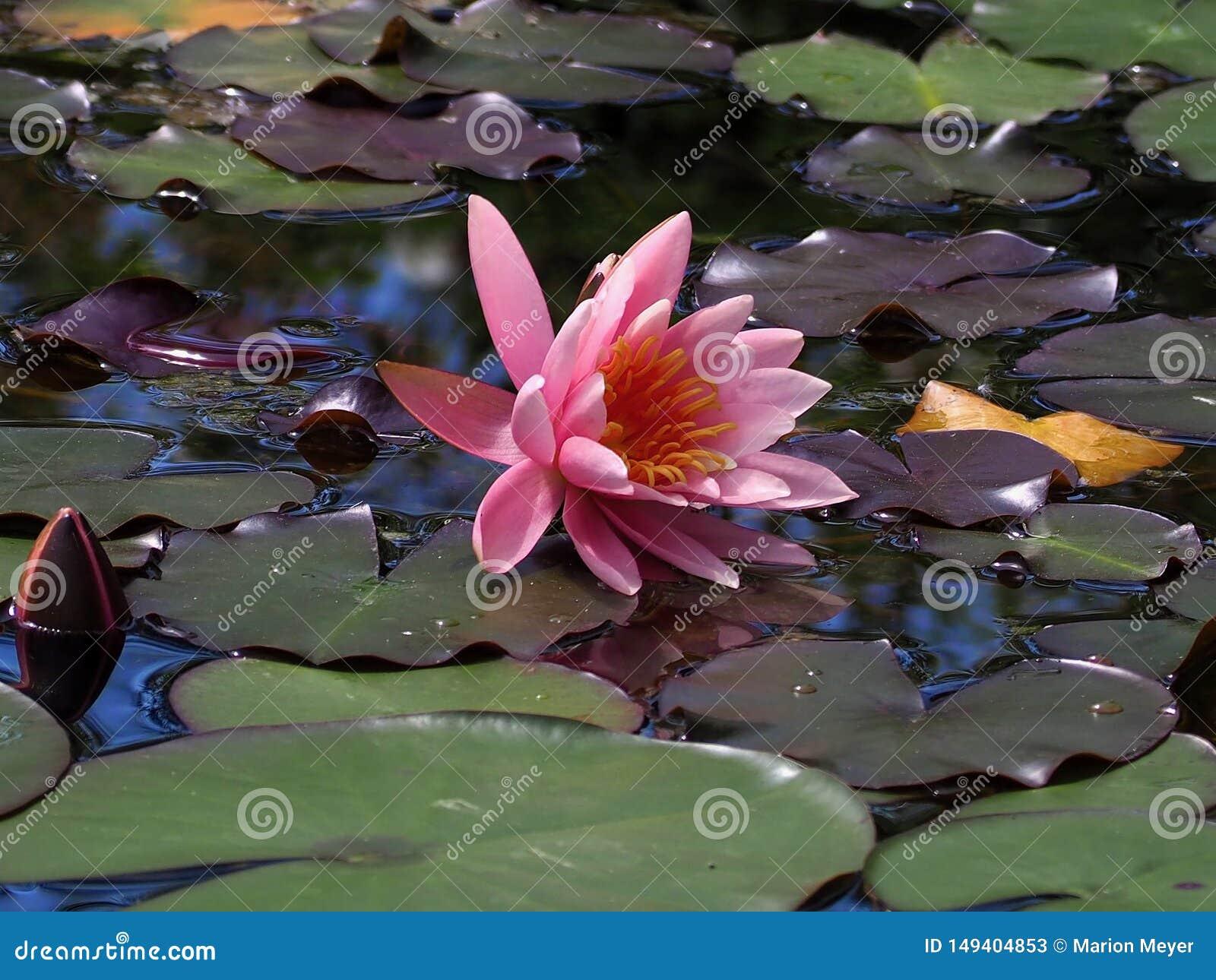 Piękny różowy kwitnący lotosowy kwiat w jeziorze