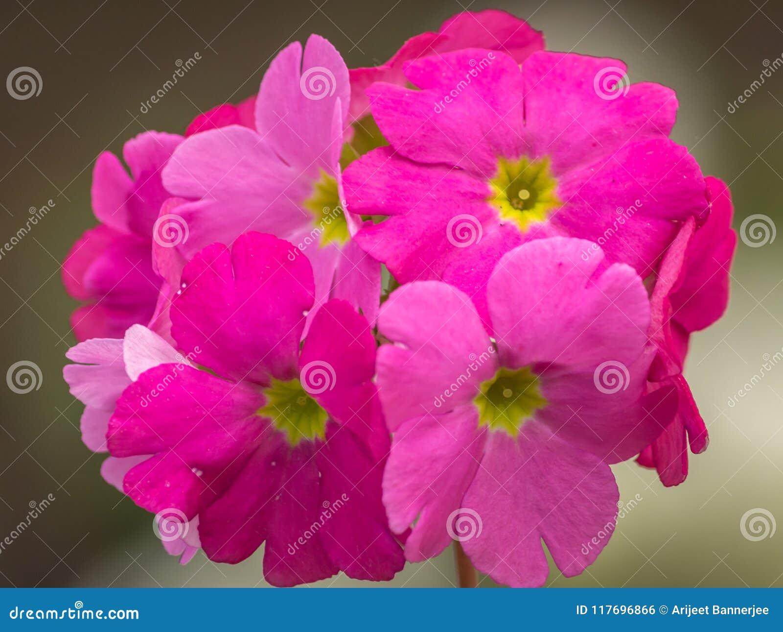 Piękny różowy Odwiecznie pierwiosnek, primula lub primula polyanthus kwitniemy w wiośnie